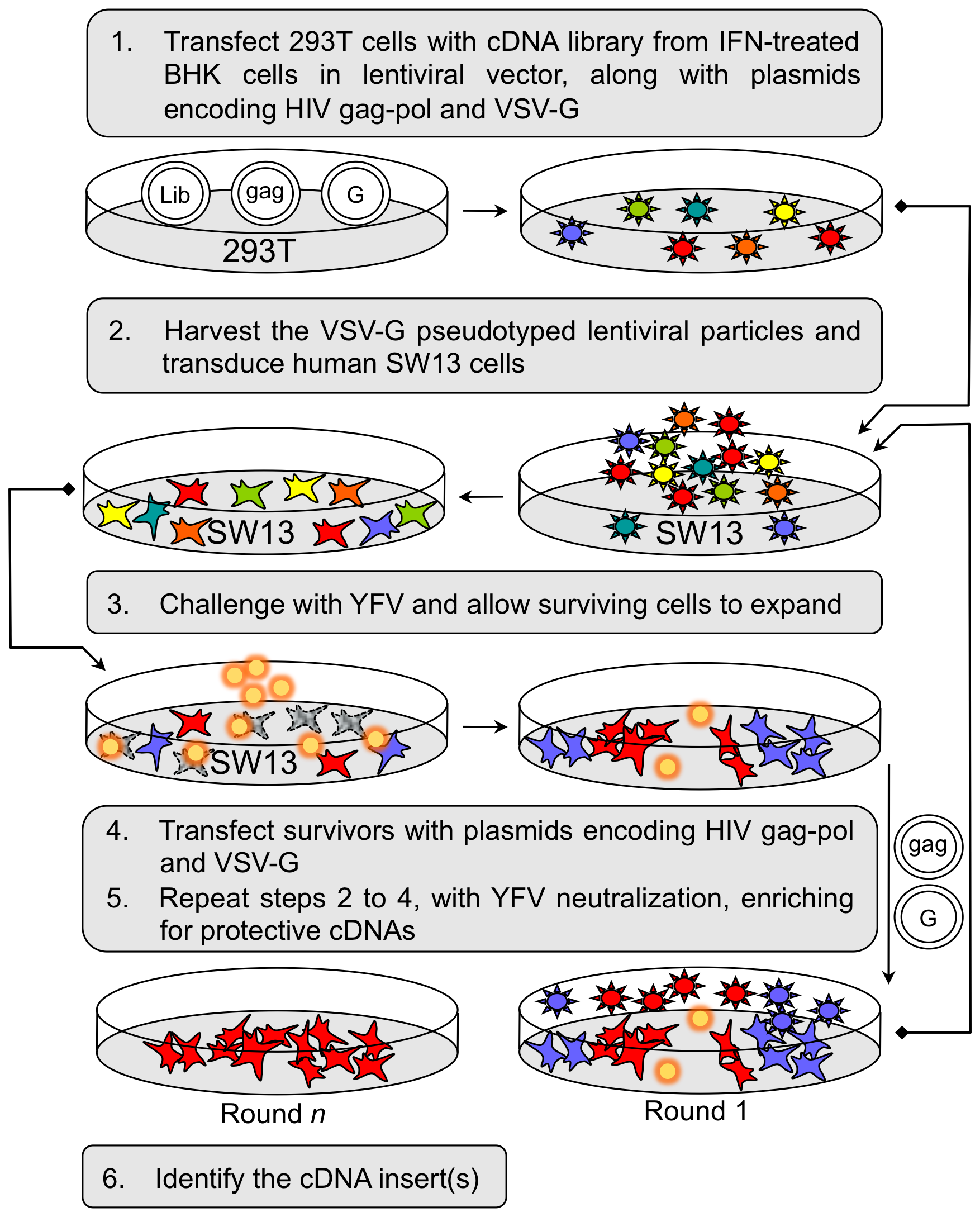 Selection and identification of host factors conferring protection against YFV-induced cell death.
