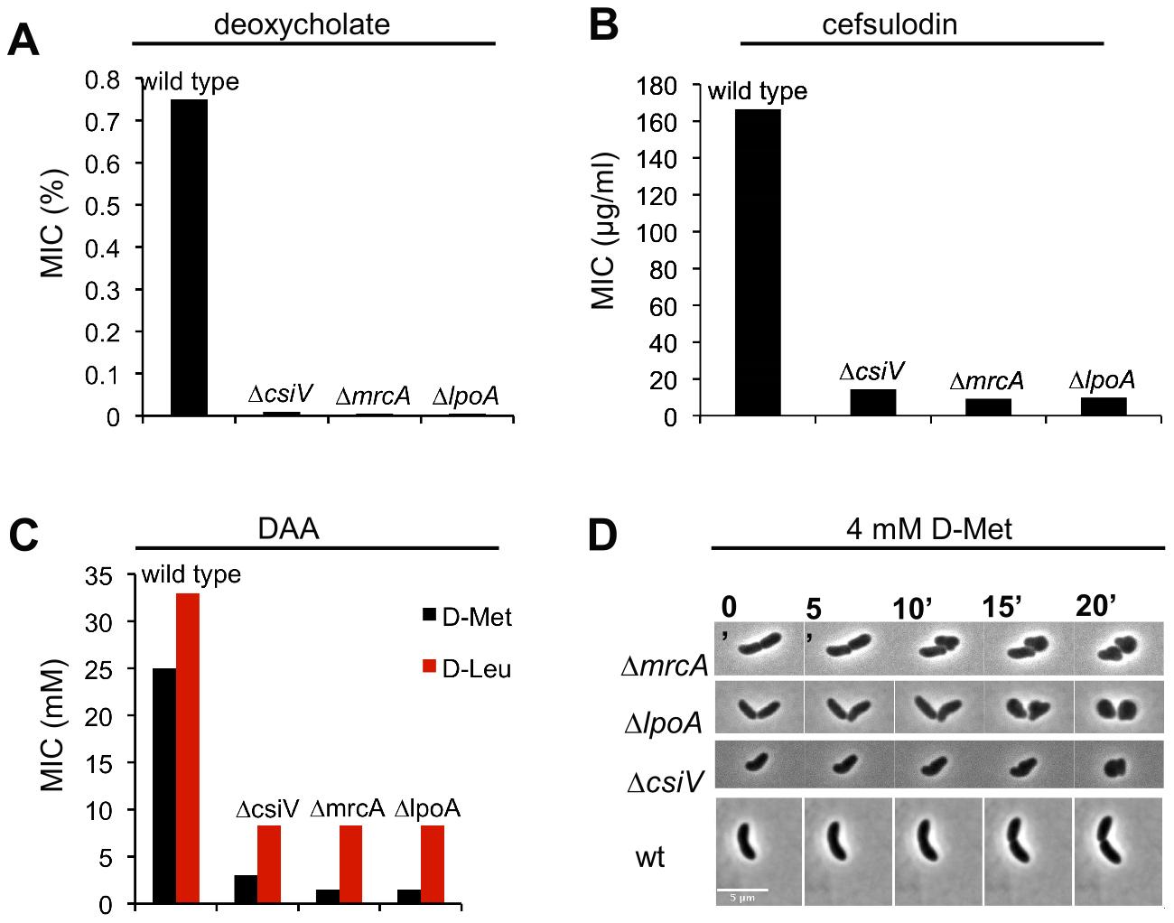 A <i>csiV</i> mutant phenocopies the growth deficiencies of <i>mrcA</i> and <i>lpoA</i> mutants.