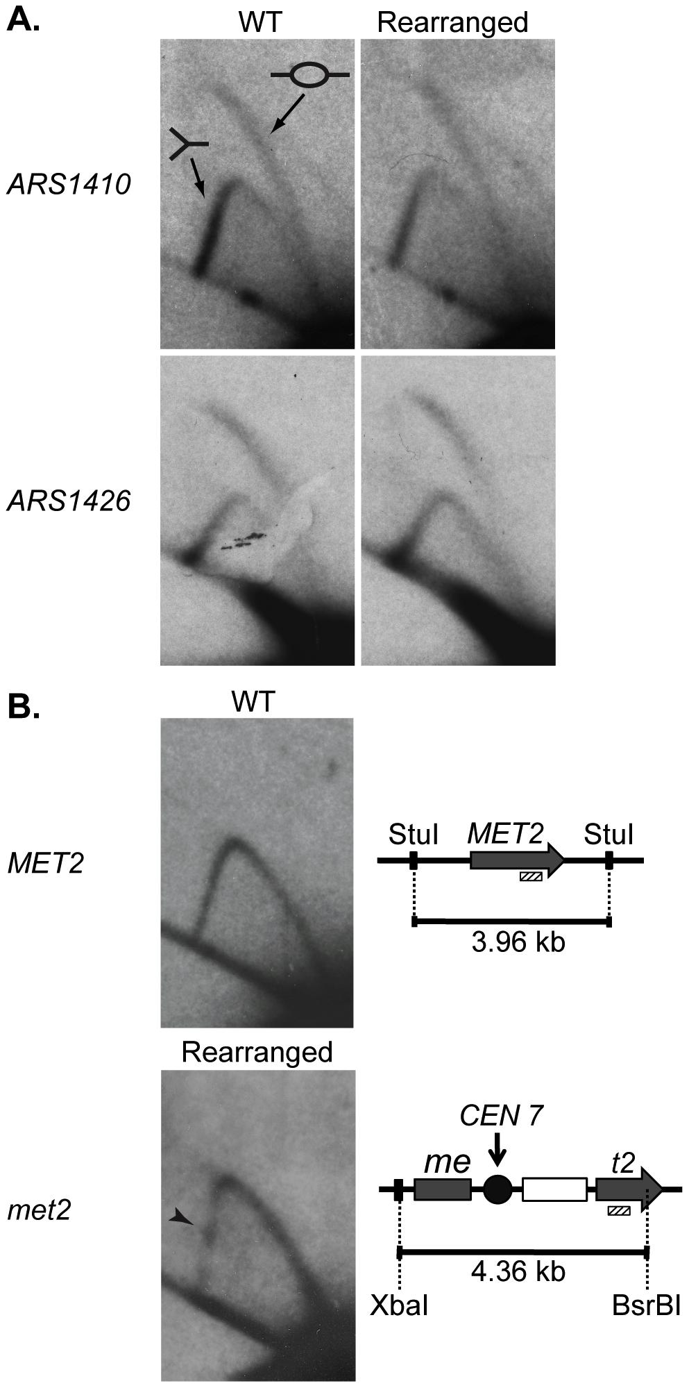 2D gel analysis of ARS1410, ARS1426, and MET2 and met2.