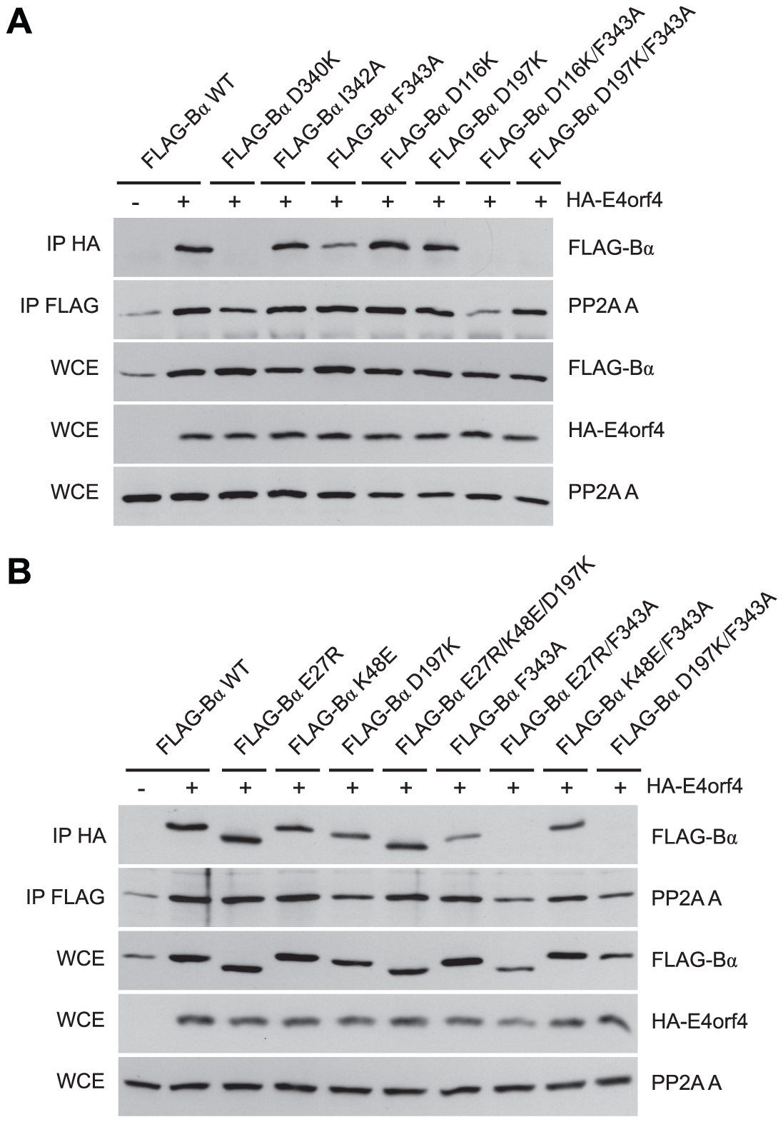 B55α residues involved in Tau dephosphorylation and E4orf4 binding.
