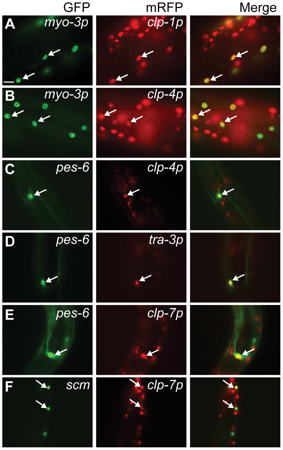 Calpain <i>nls::mrfp</i> expression in non-neuronal tissues.