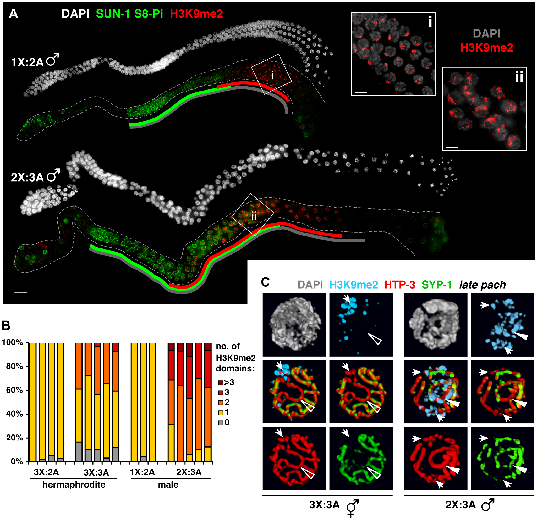 Male germ cells containing supernumerary chromosomes show a greater capacity to apply H3K9me2.
