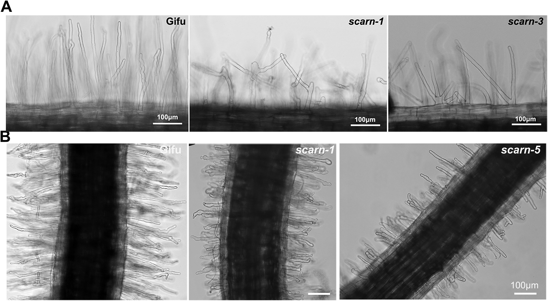 Root hair and <i>M</i>. <i>loti</i>-induced root hair deformation in <i>L</i>. <i>japonicus</i> wildtype (Gifu) and <i>scarn</i> mutants (<i>scarn-1</i> and <i>scarn-5</i>).