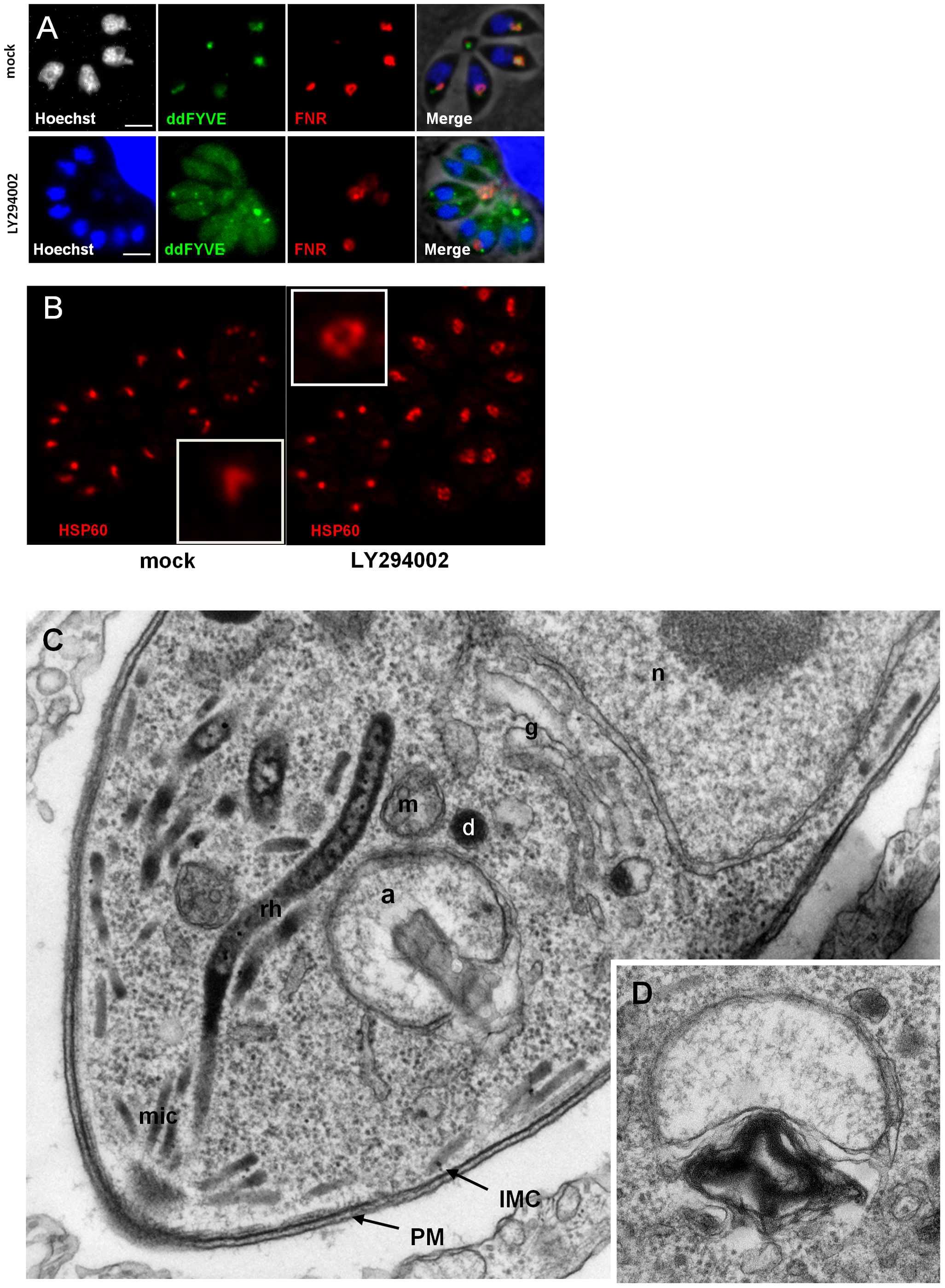 The PI3-kinase inhibitor LY294002 interferes with apicoplast biogenesis.