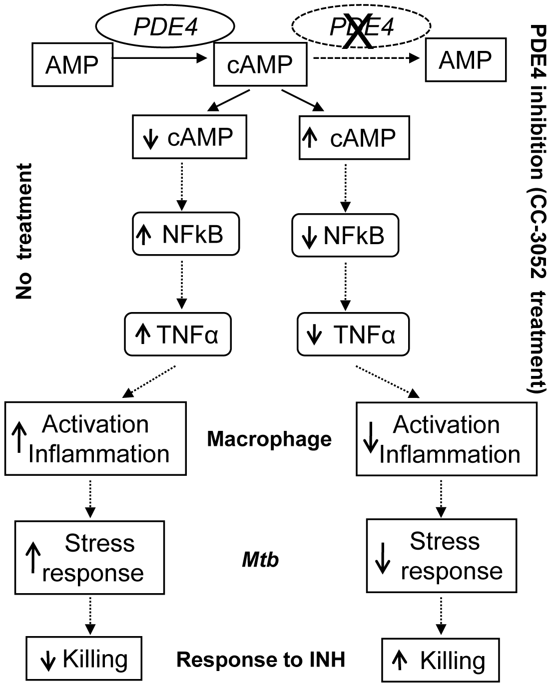 Schematic representation of the mechanism by which CC-3052 treatment affects macrophage activation and improve INH-mediated <i>Mtb</i> killing in the lungs of infected rabbits.