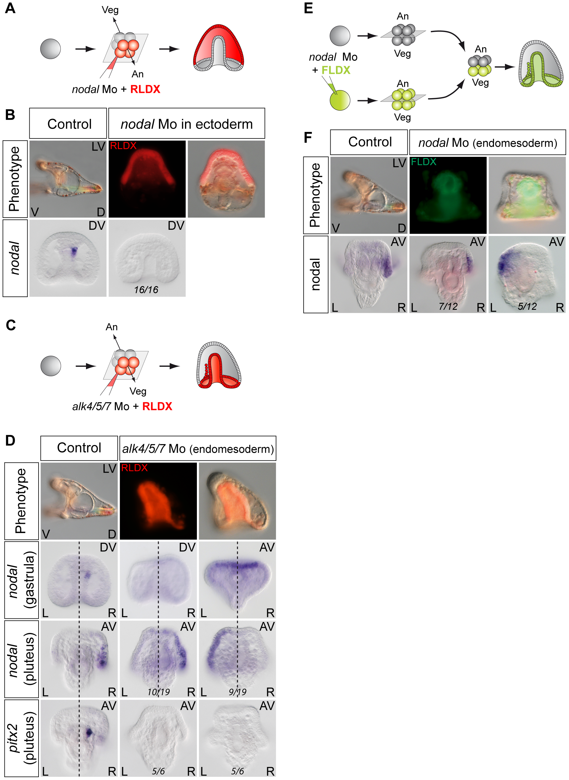 Establishment of left-right asymmetry requires reciprocal Nodal signaling between the ectoderm and endomesoderm.