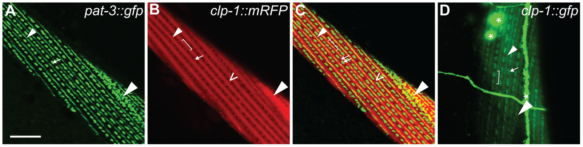 Ectopic <i>unc-54p::clp-1::mrfp</i> localizes to M-lines and adhesions plaques in body wall muscle.