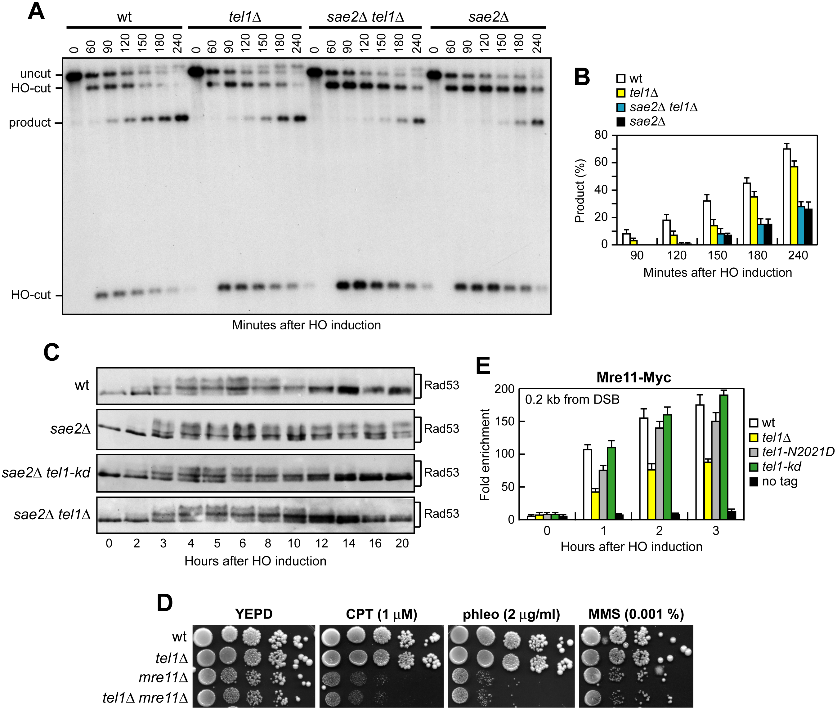 The lack of Tel1 does not restore DNA damage resistance and SSA in <i>sae2</i>Δ cells.