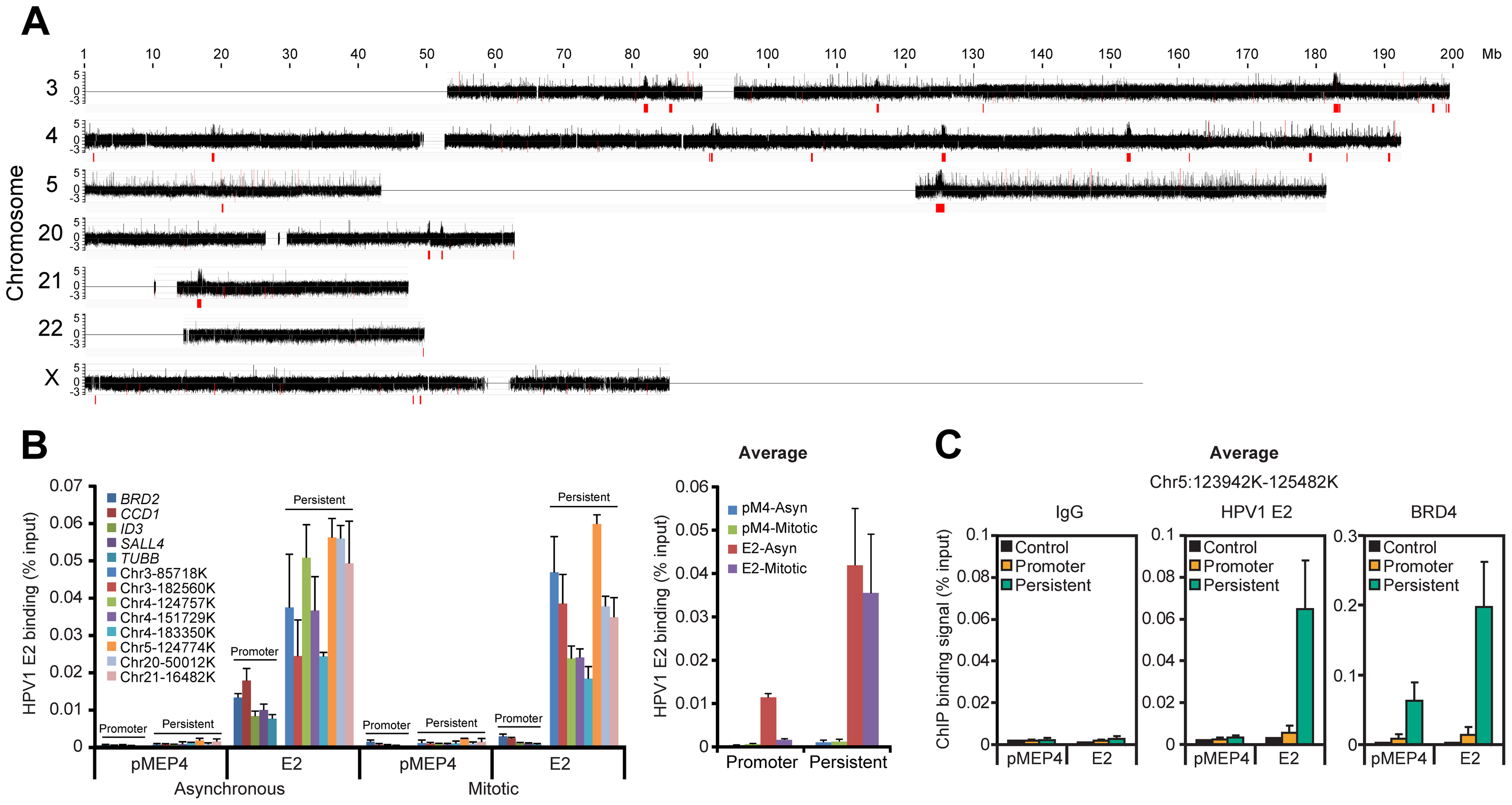 HPV1 E2 binds to broad regions of mitotic chromatin.