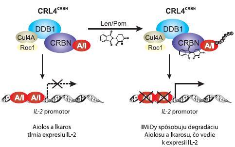 Model účinku kostimulácie T buniek lenalidomidom a pomalidomidom.