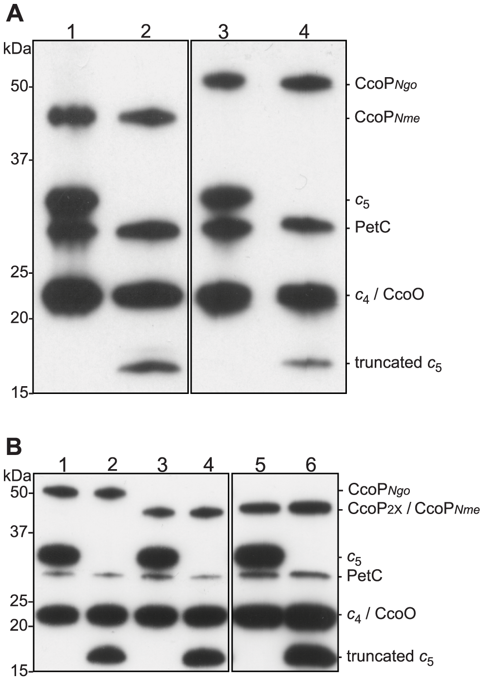 Heme-stained protein blots showing altered expression of <i>c</i><sub>5</sub> and CcoP in defined backgrounds.
