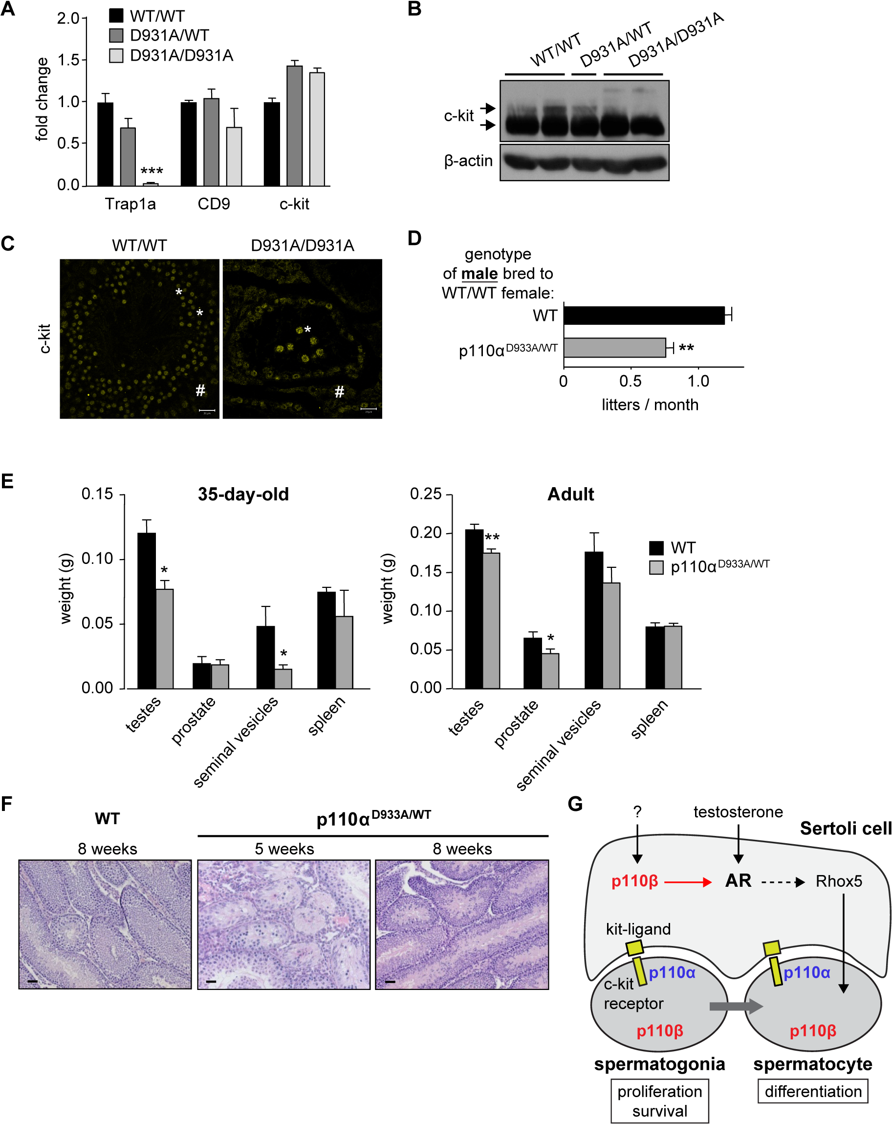 p110α couples to c-kit in testes and regulates male fertility.