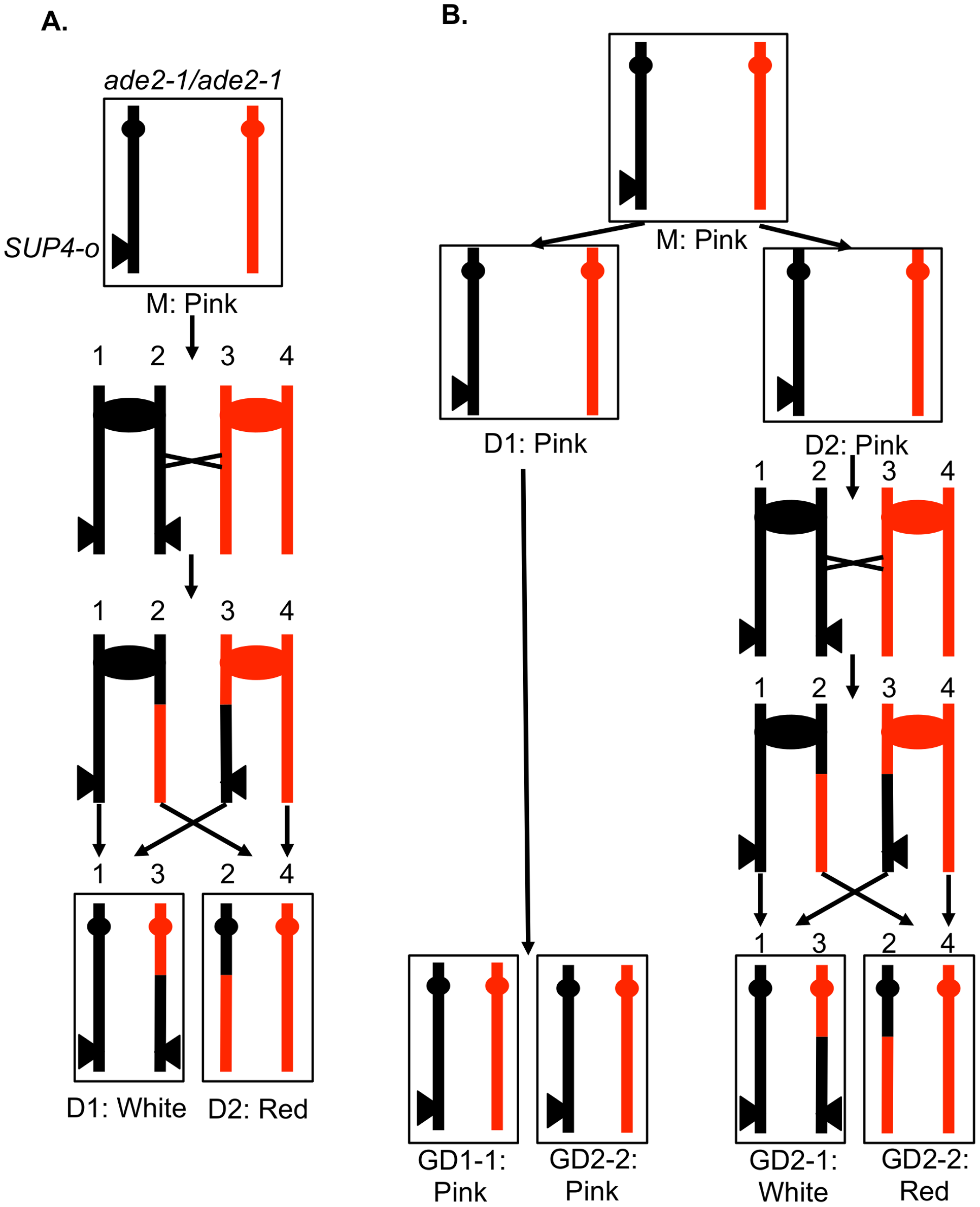 A system for detecting mitotic crossovers by a colony sectoring assay.