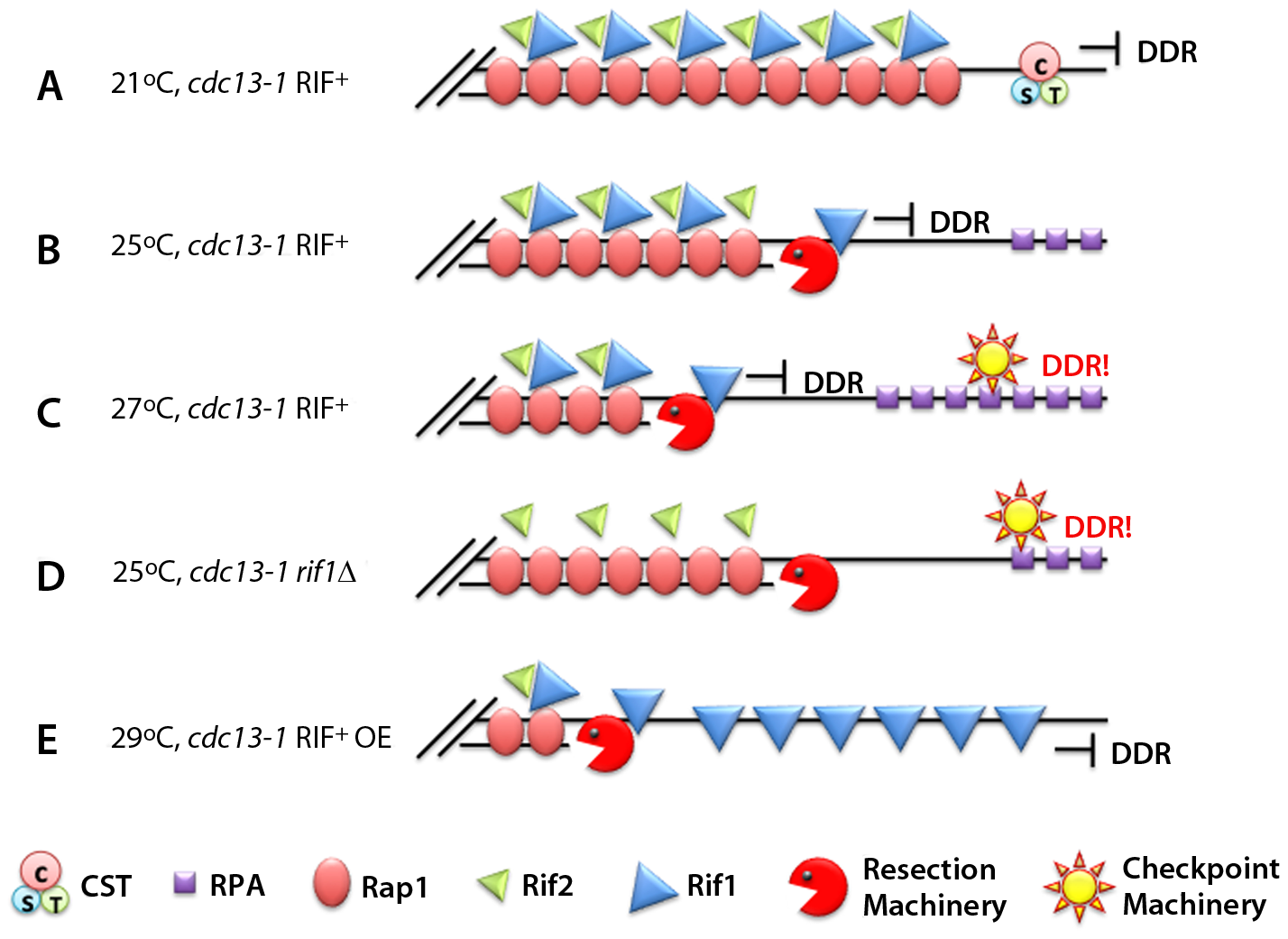 Rif1 works as an anti-checkpoint protein.