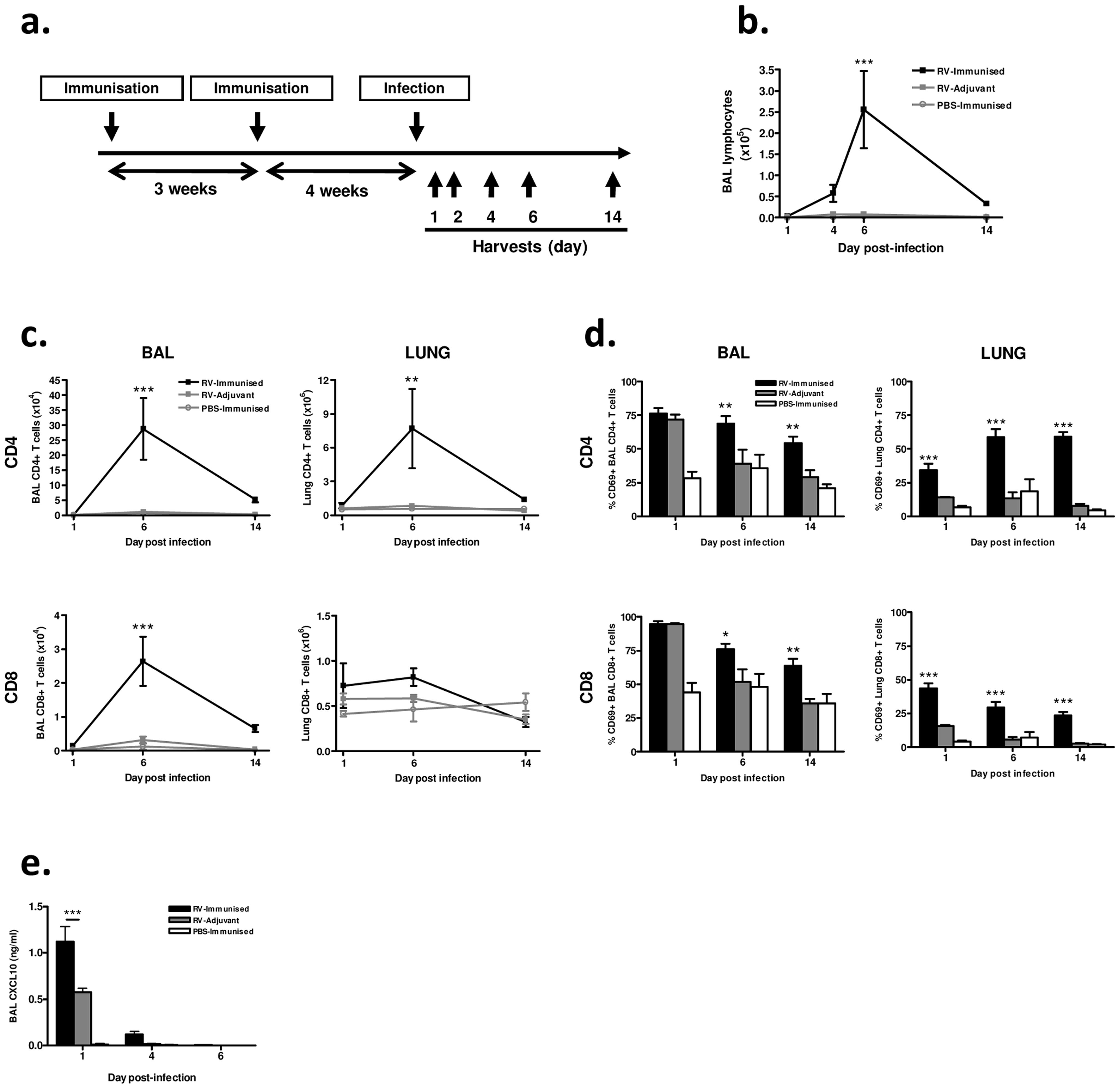 Immunization enhances airway lymphocyte responses to heterologous RV infection.