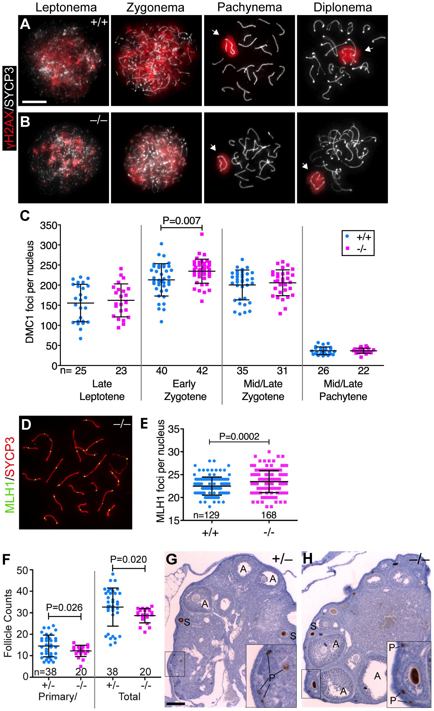 <i>Baz1a</i> mutants can repair meiotic DSBs.