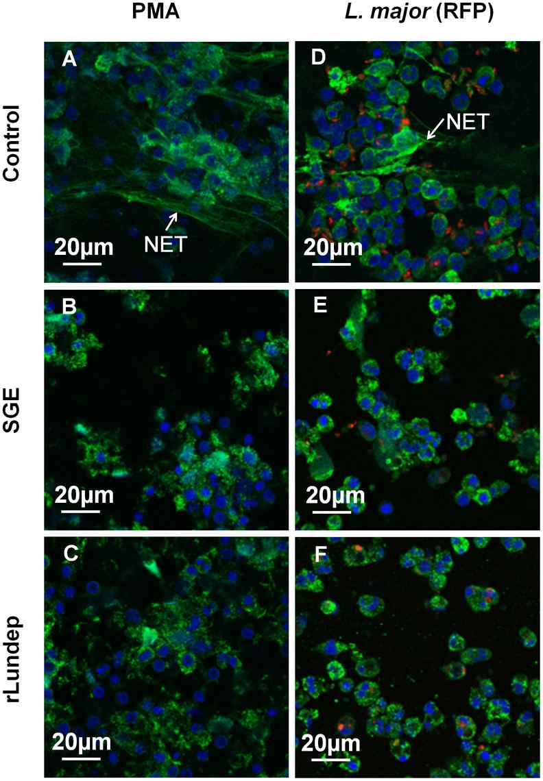 Disruption of NETs by recombinant Lundep (rLundep) and <i>Lutzomyia longipalpis</i> salivary gland extract (SGE).