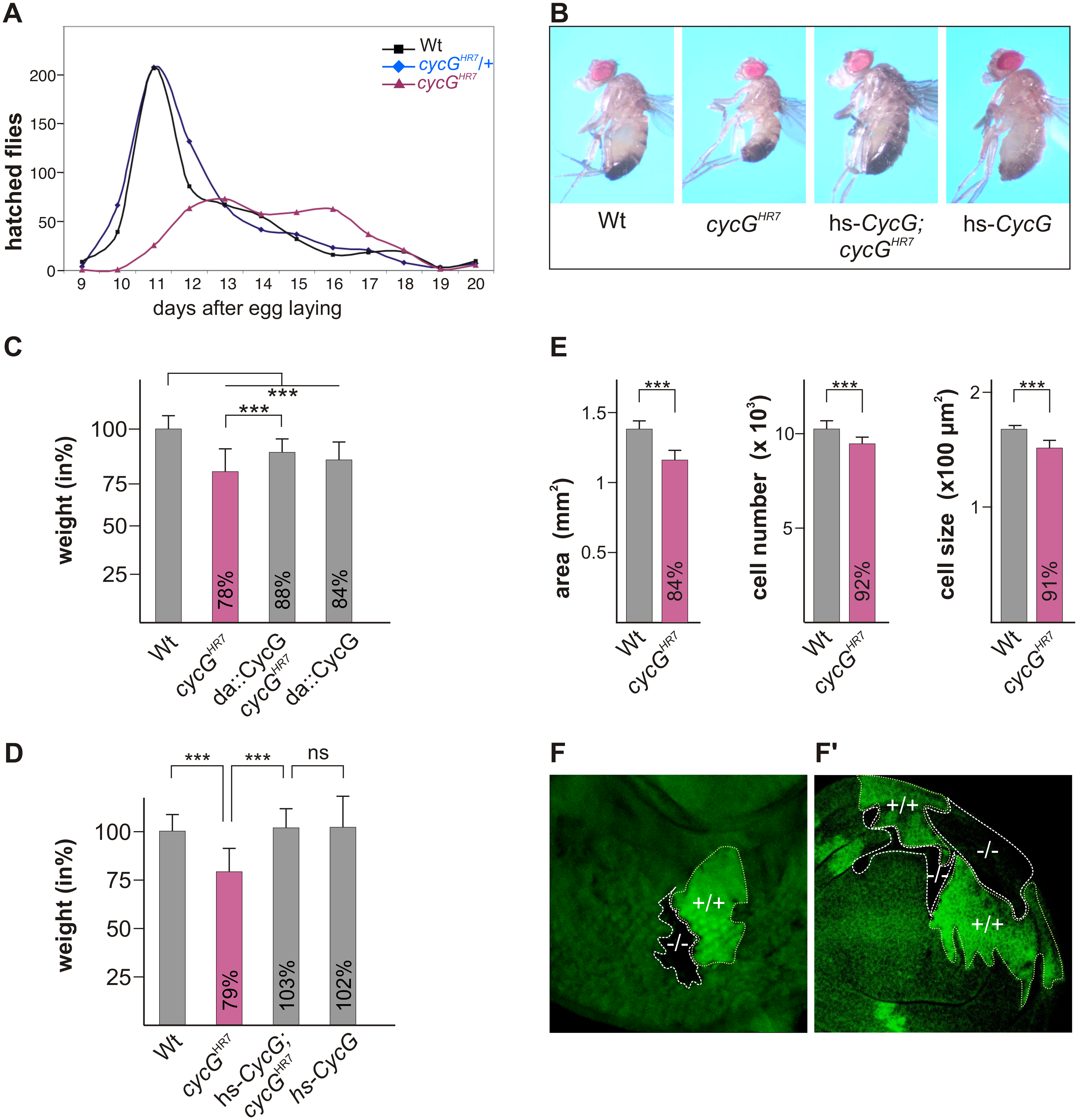 Growth and weight deficits in <i>cycG</i><sup><i>HR7</i></sup> mutant animals.