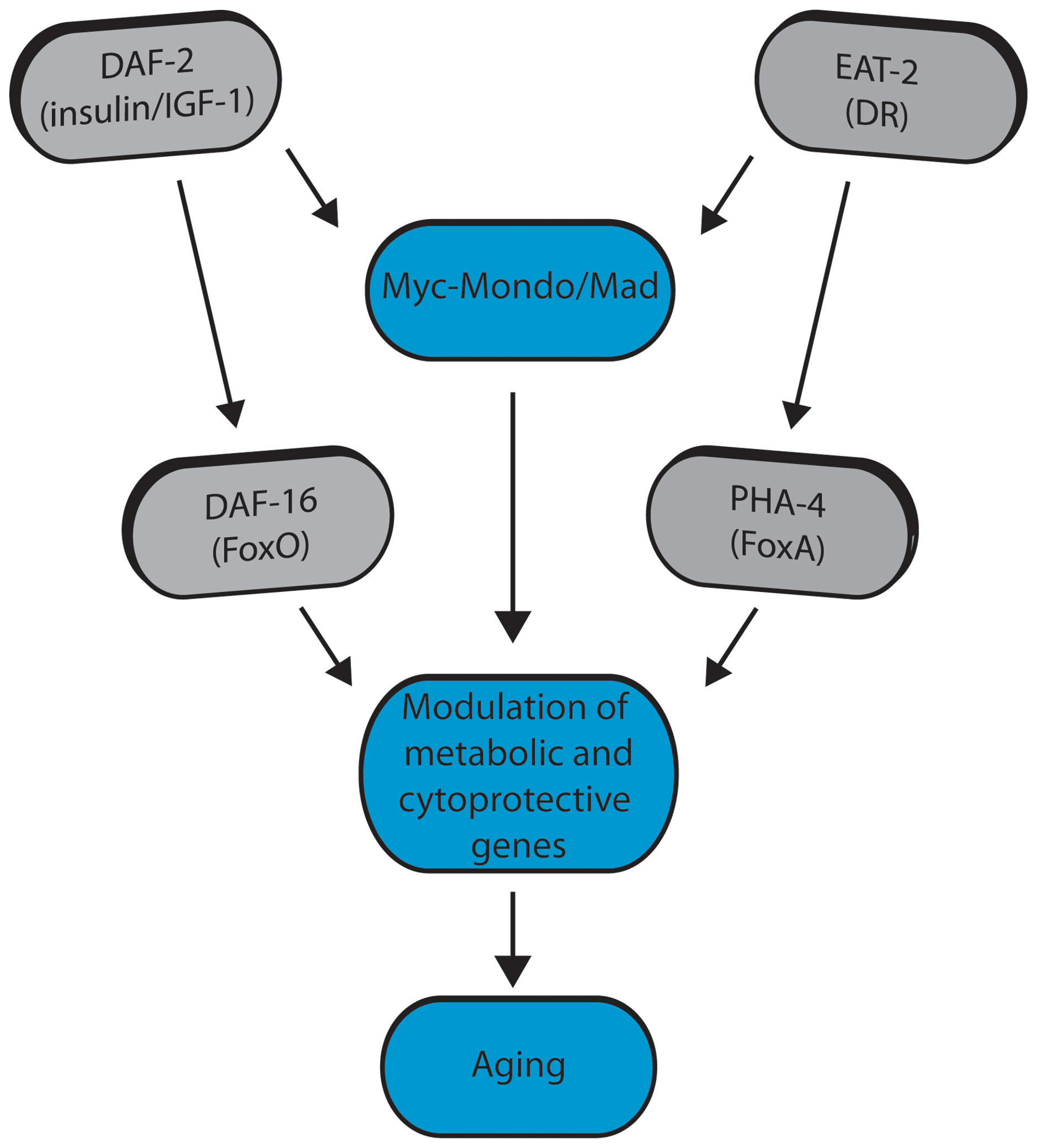 Model for Myc-Mondo/Mad transcription factors in longevity control under basal conditions the Myc-Mondo activation complex (MML-1:MXL-2) is largely inactive, and transcription of genes encoding functions related to aging is limited by the Mad transcriptional repression complex (MDL-1:MXL-1).