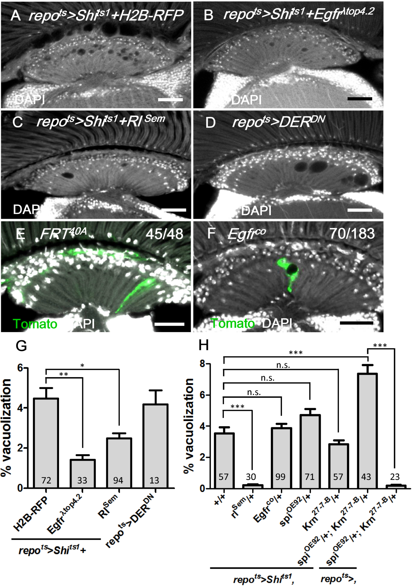 EGFR is required and sufficient in the lamina glia to maintain glia integrity.