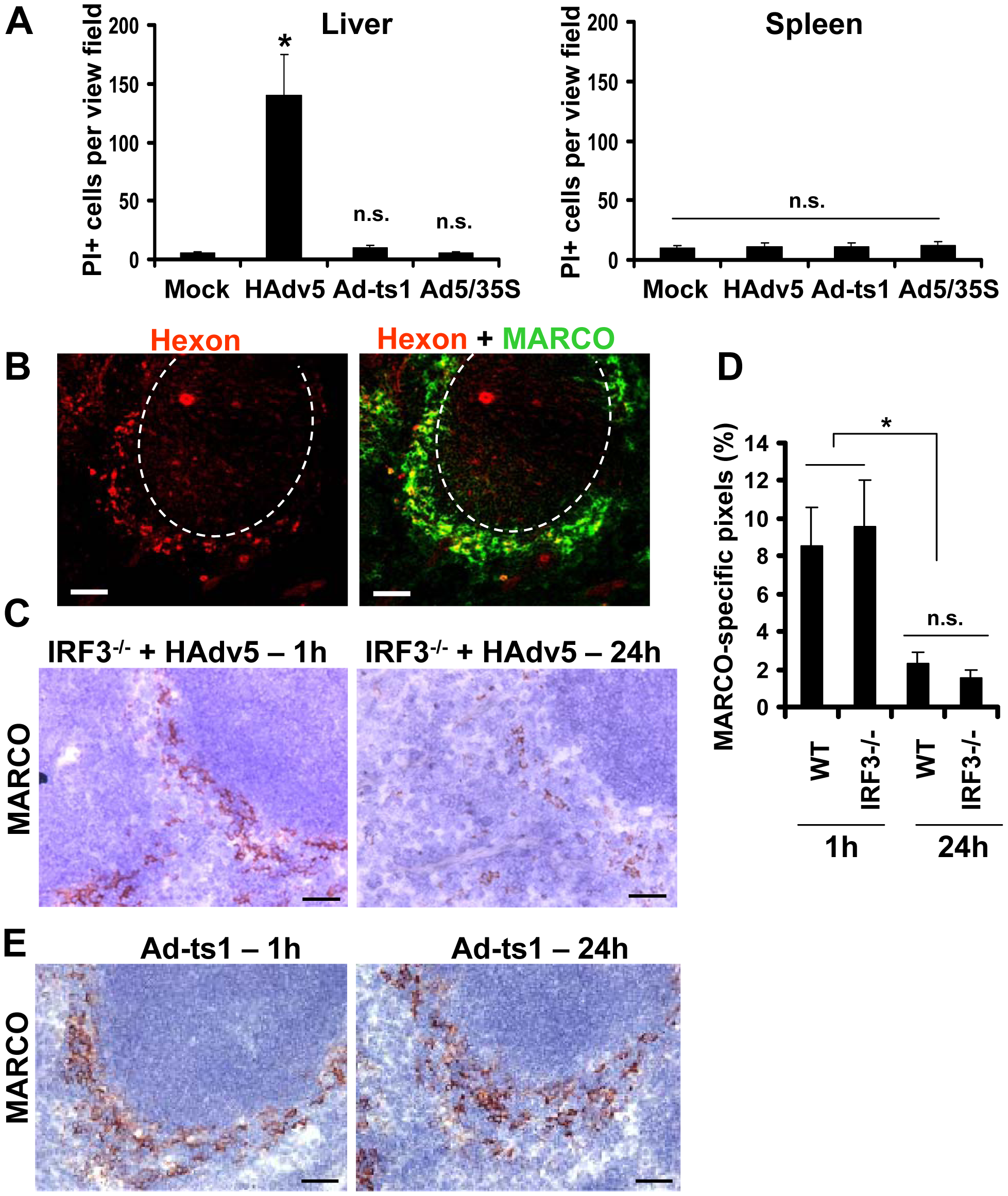 MARCO<sup>+</sup> cells are eliminated from the splenic MZ through an IRF3-mediated necrosis-independent pathway.