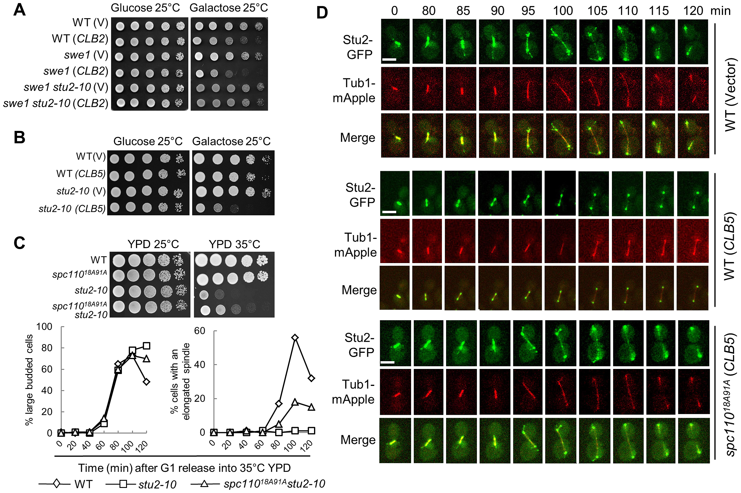 Overexpression of <i>CLB5</i> impairs the localization of Stu2 on spindle and cytoplasmic microtubules.