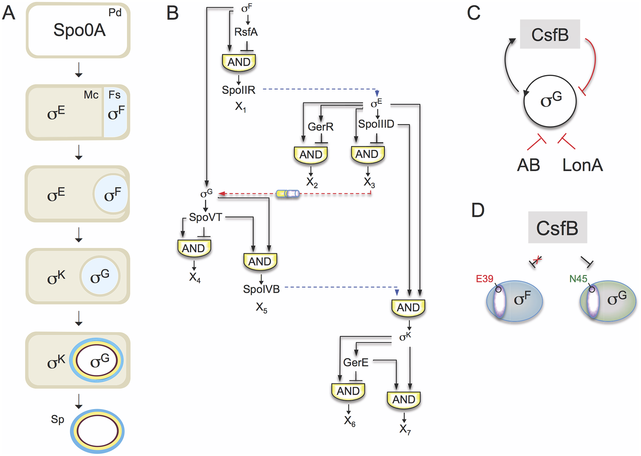 The sporulation network and the action of CsfB on σ<sup>G</sup>.