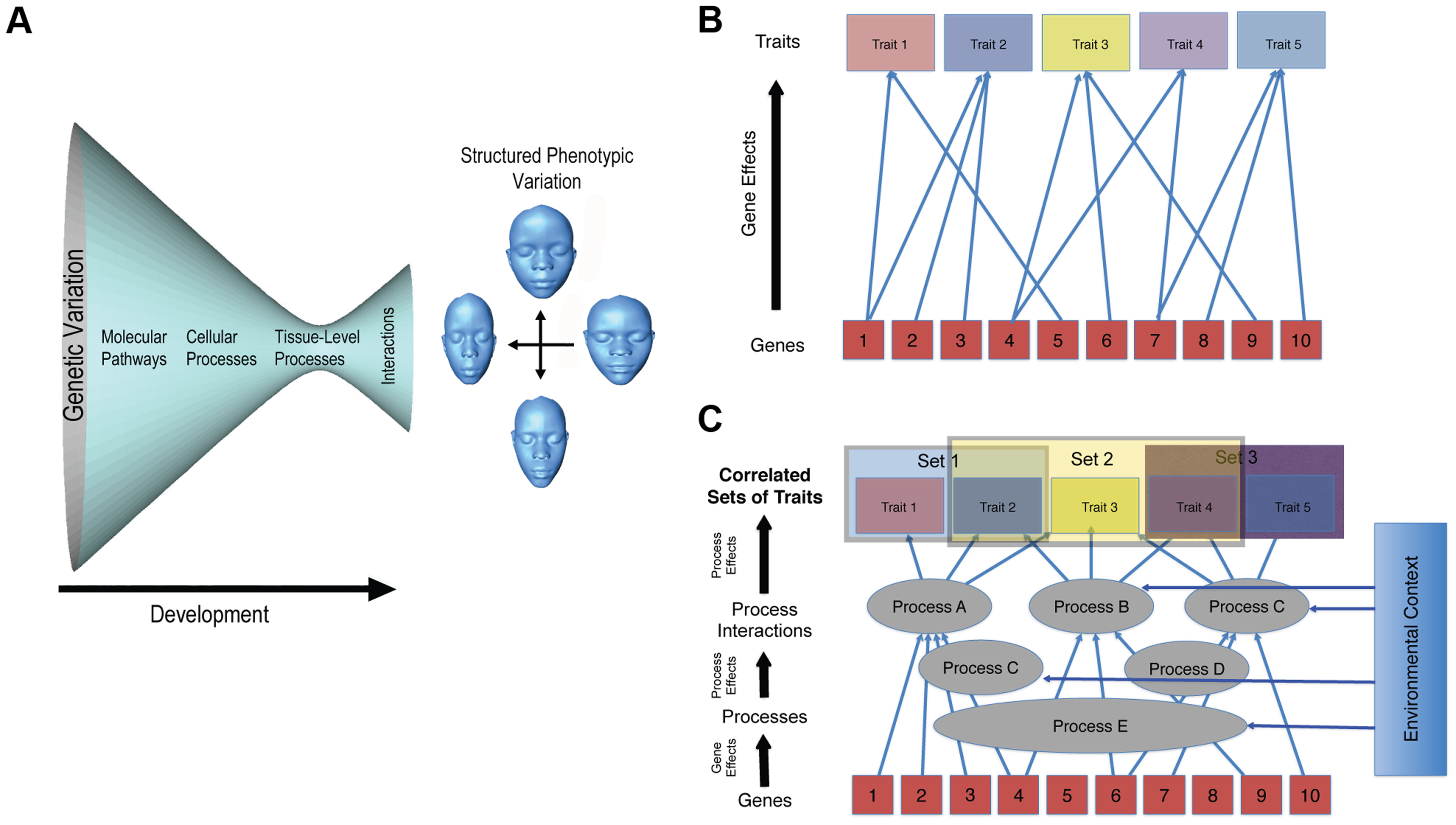 Two complementary depictions of the developmental architecture underlying the genotype–phenotype map for complex traits.