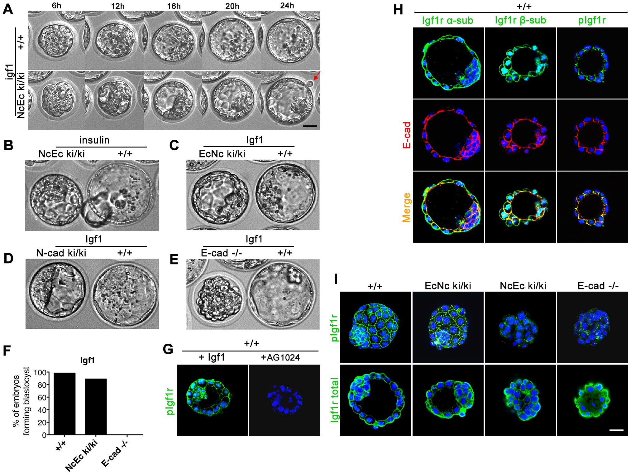 Artificial increase of Igf1 levels during <i>in vitro</i> culture rescues blastocyst formation suggesting Igf1 signaling as the endogenous prosurvival stimulus.
