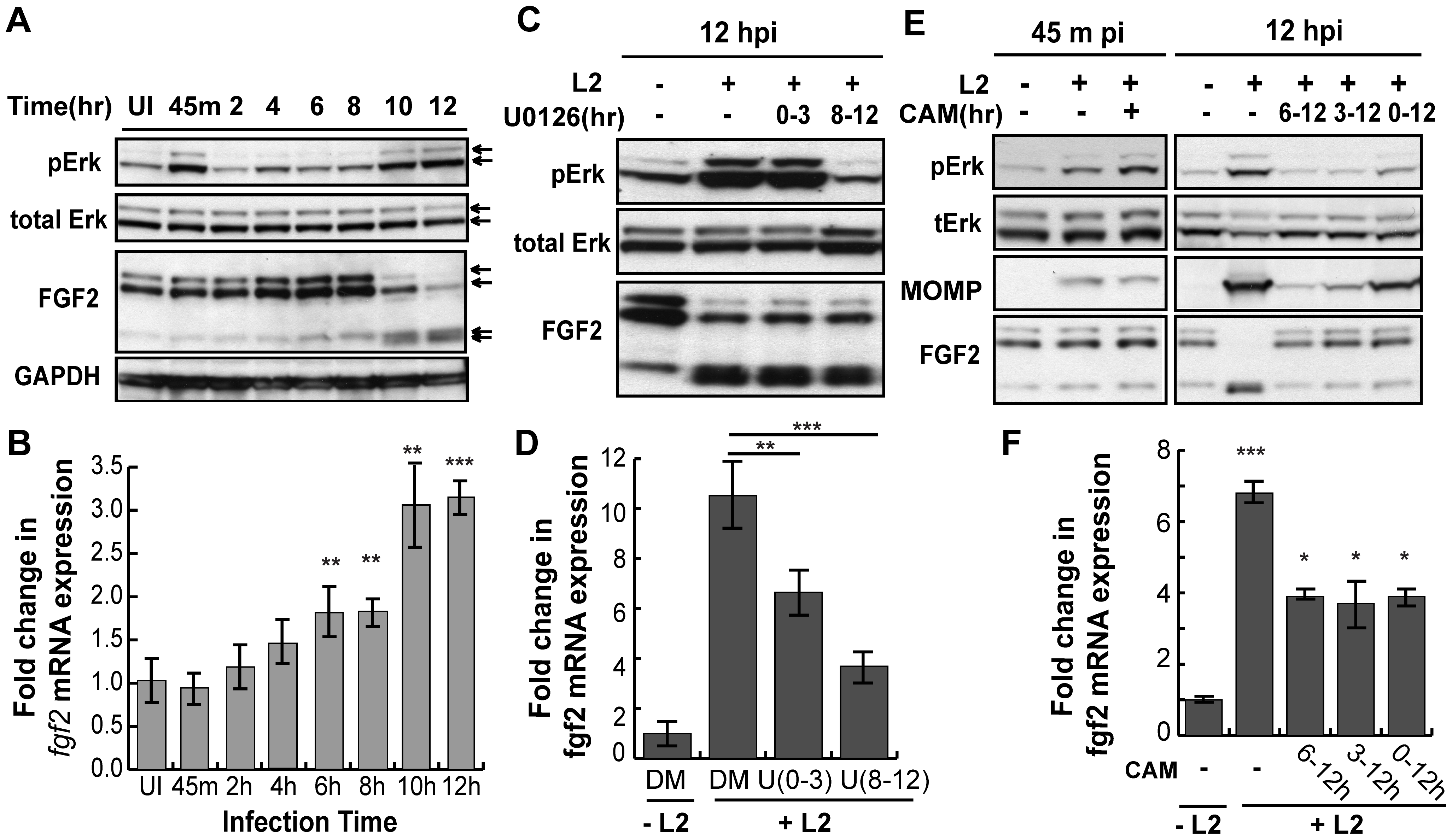 <i>C. trachomatis</i> L2 induces a biphasic activation of Erk1/2 which contributes to the induction of <i>fgf2</i> mRNA expression.
