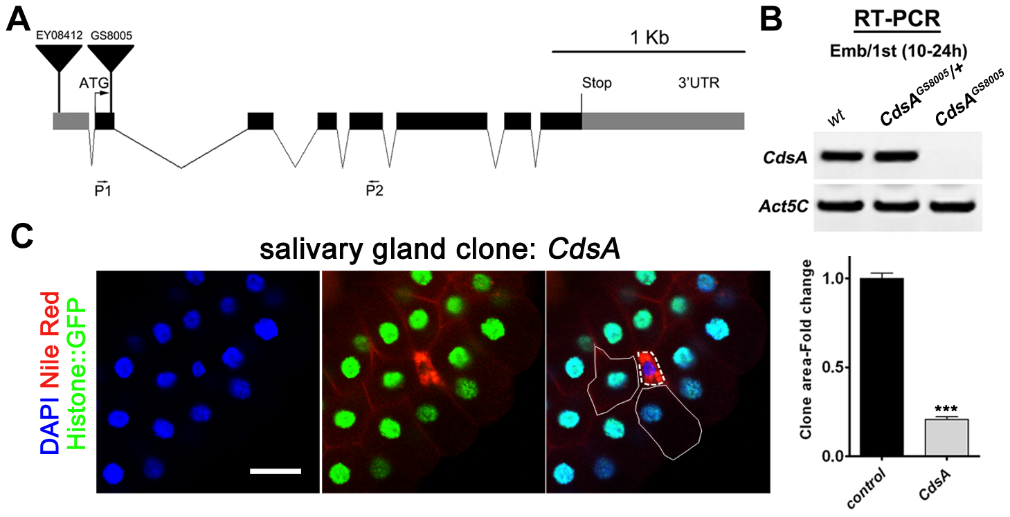 <i>CdsA</i> mutations affect salivary gland fat storage and cell size.