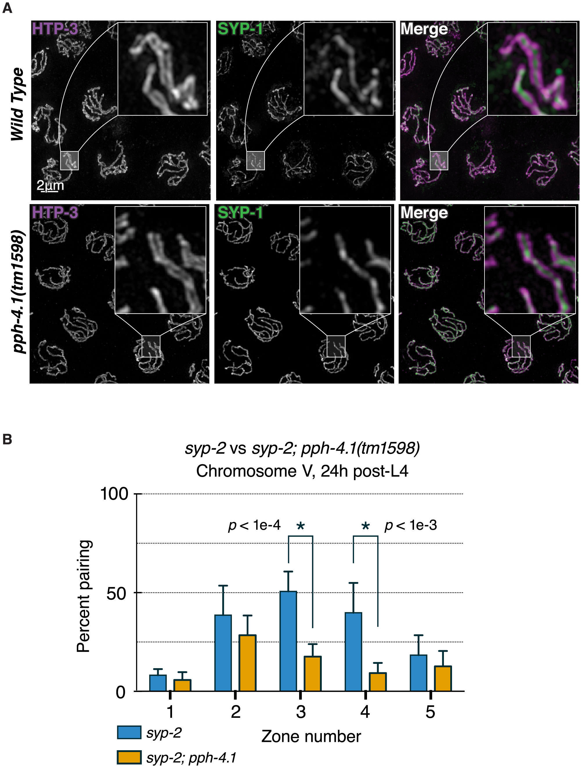Canonical SC structure but reduced synapsis-independent pairing in <i>pph-4.1</i> mutants.