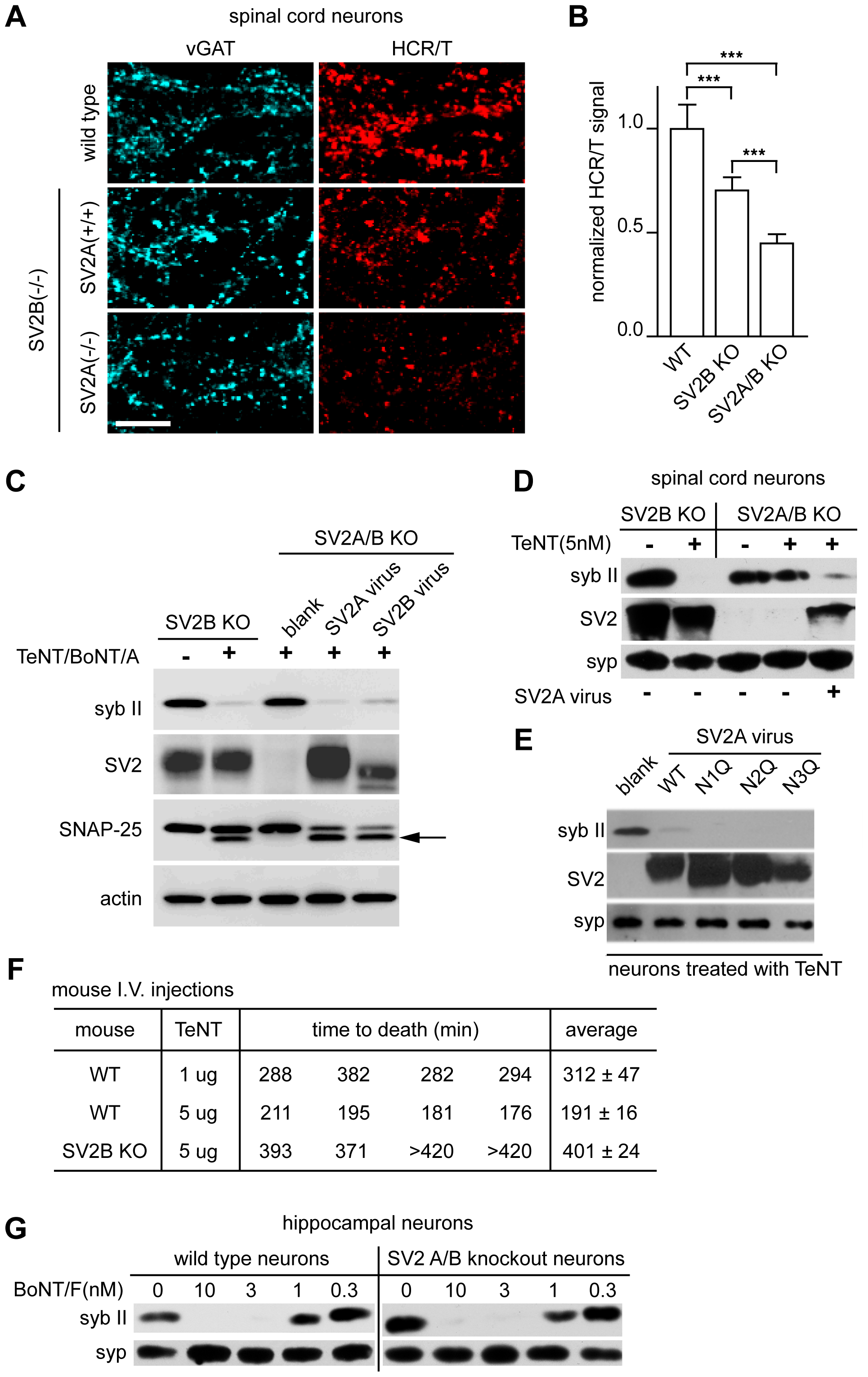 SV2A/B KO neurons are resistant to TeNT.
