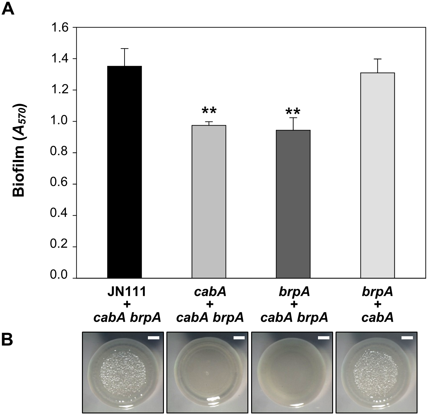 Extracellular complementation by co-culturing the mutants which lack either EPS or CabA.