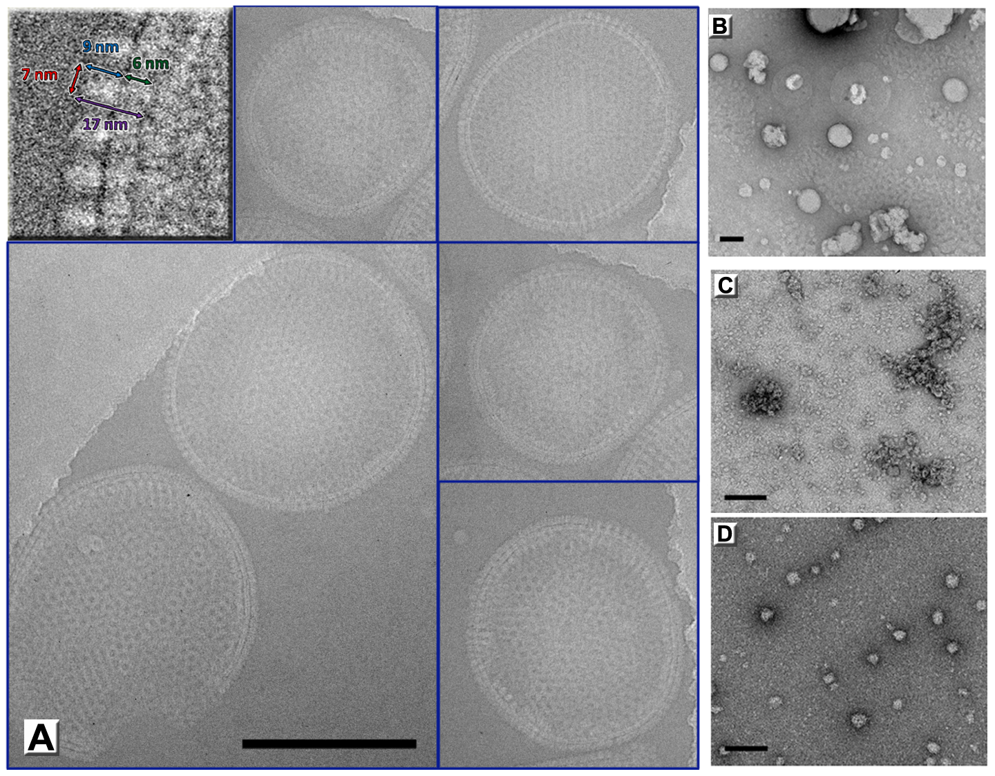 Immature virion-like particles formed by D13 on artificial membranes.