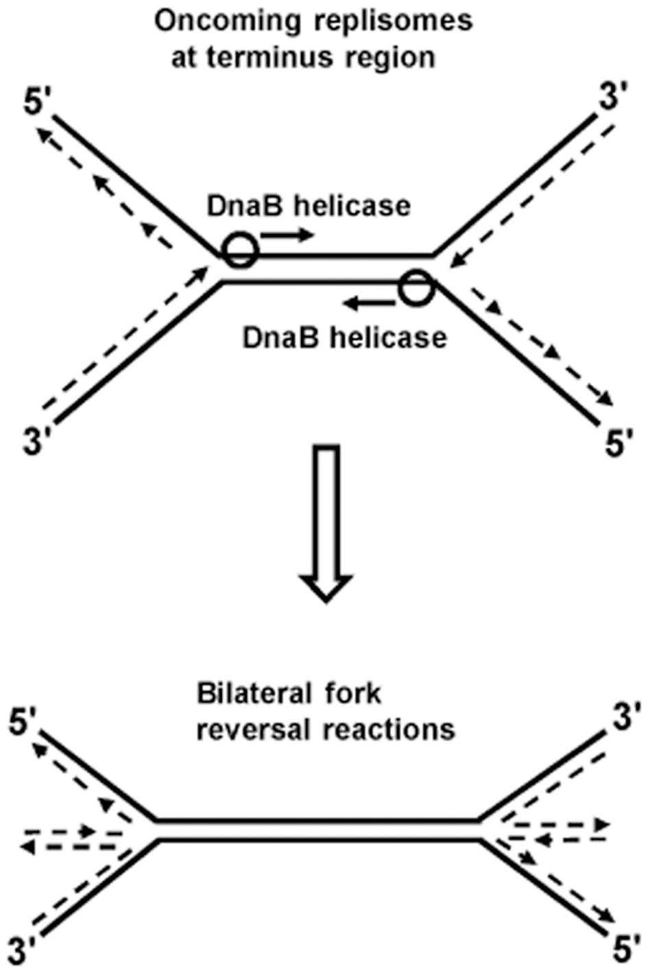 Model of bilateral fork reversal reaction at a site where oncoming replisomes meet during replication termination.