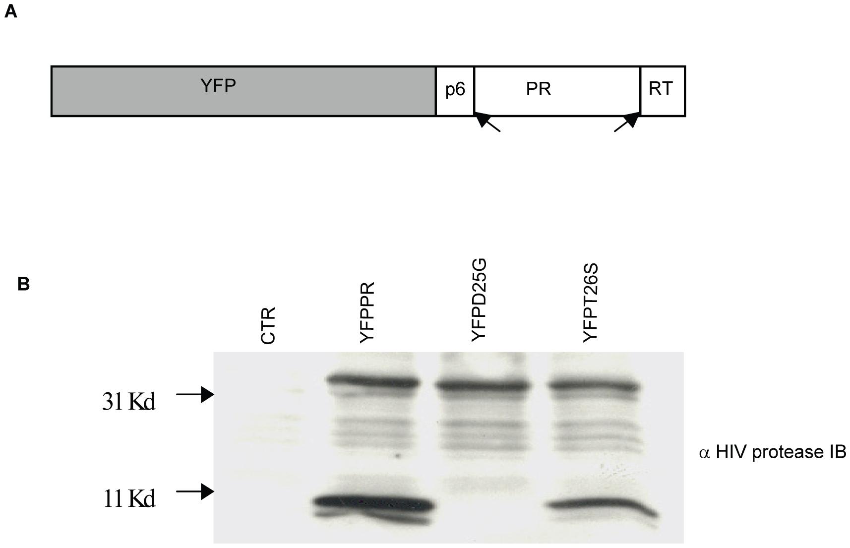 Subcloning HIV-1PR.