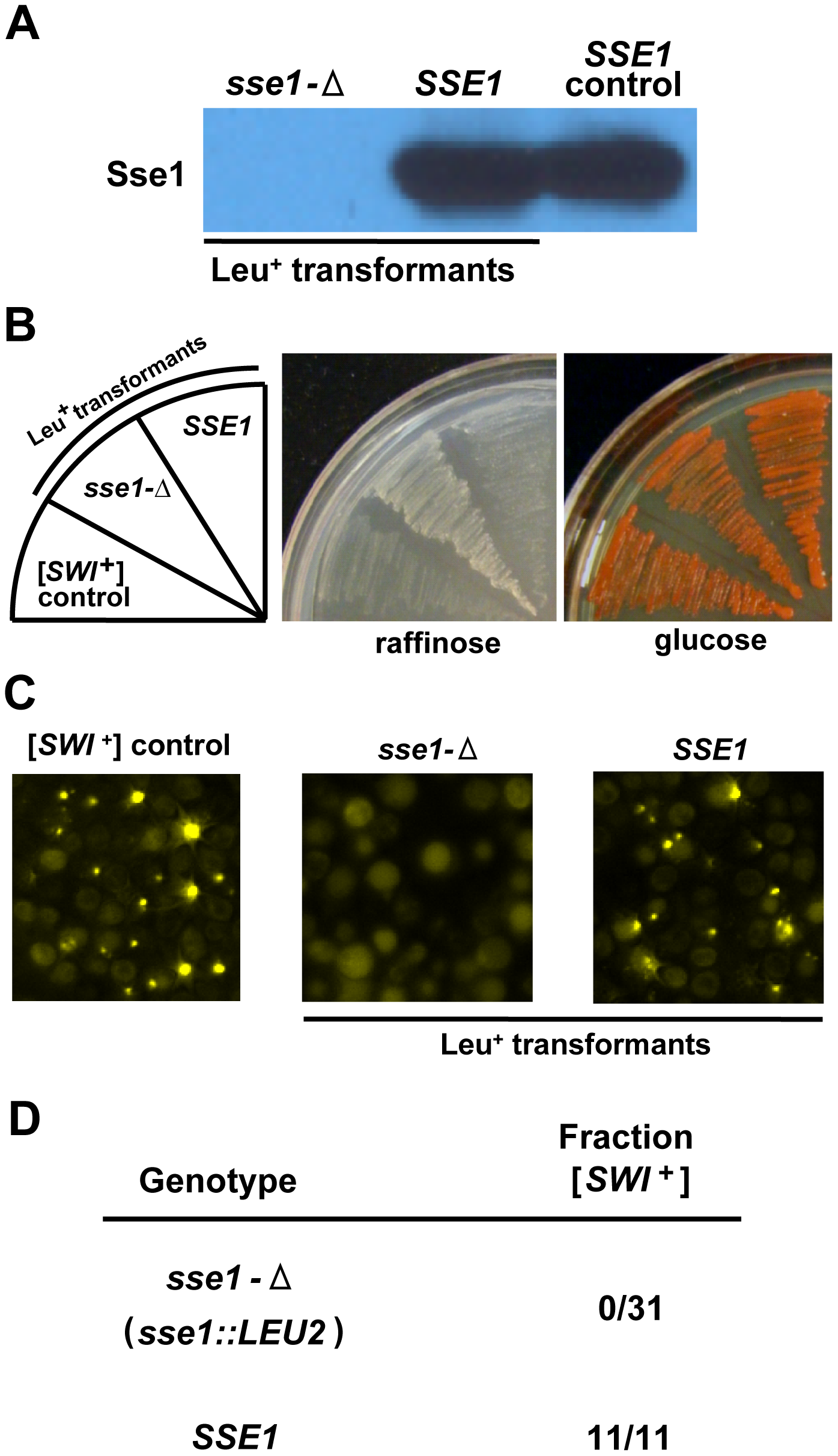 [<i>SWI</i><sup>+</sup>] is cured upon deletion of <i>SSE1</i>.