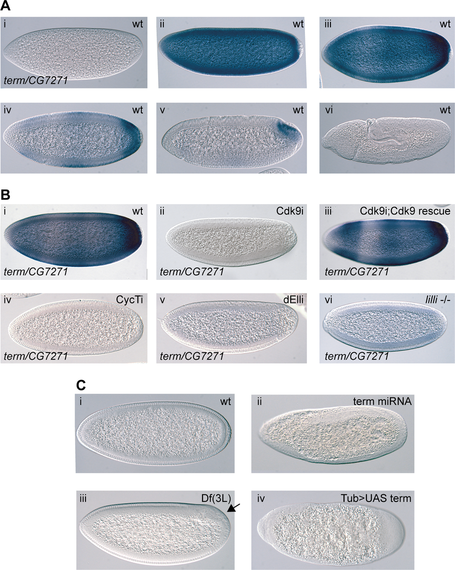 The P-TEFb and SEC-regulated gene <i>terminus (term)</i> is essential in early embryos.