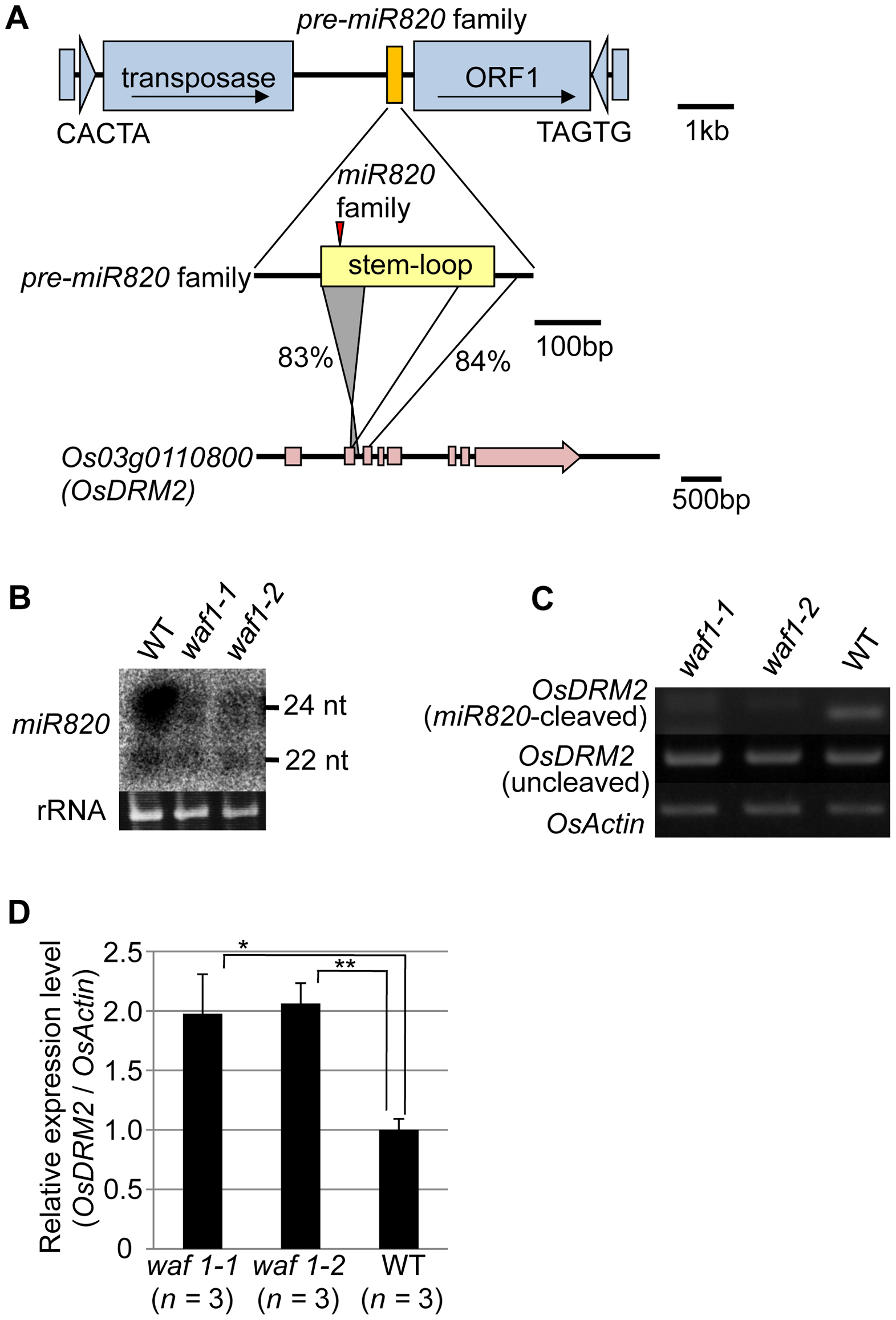 <i>miR820</i> family members are located within CACTA transposons and target the DNA methyltransferase gene <i>OsDRM2</i>.