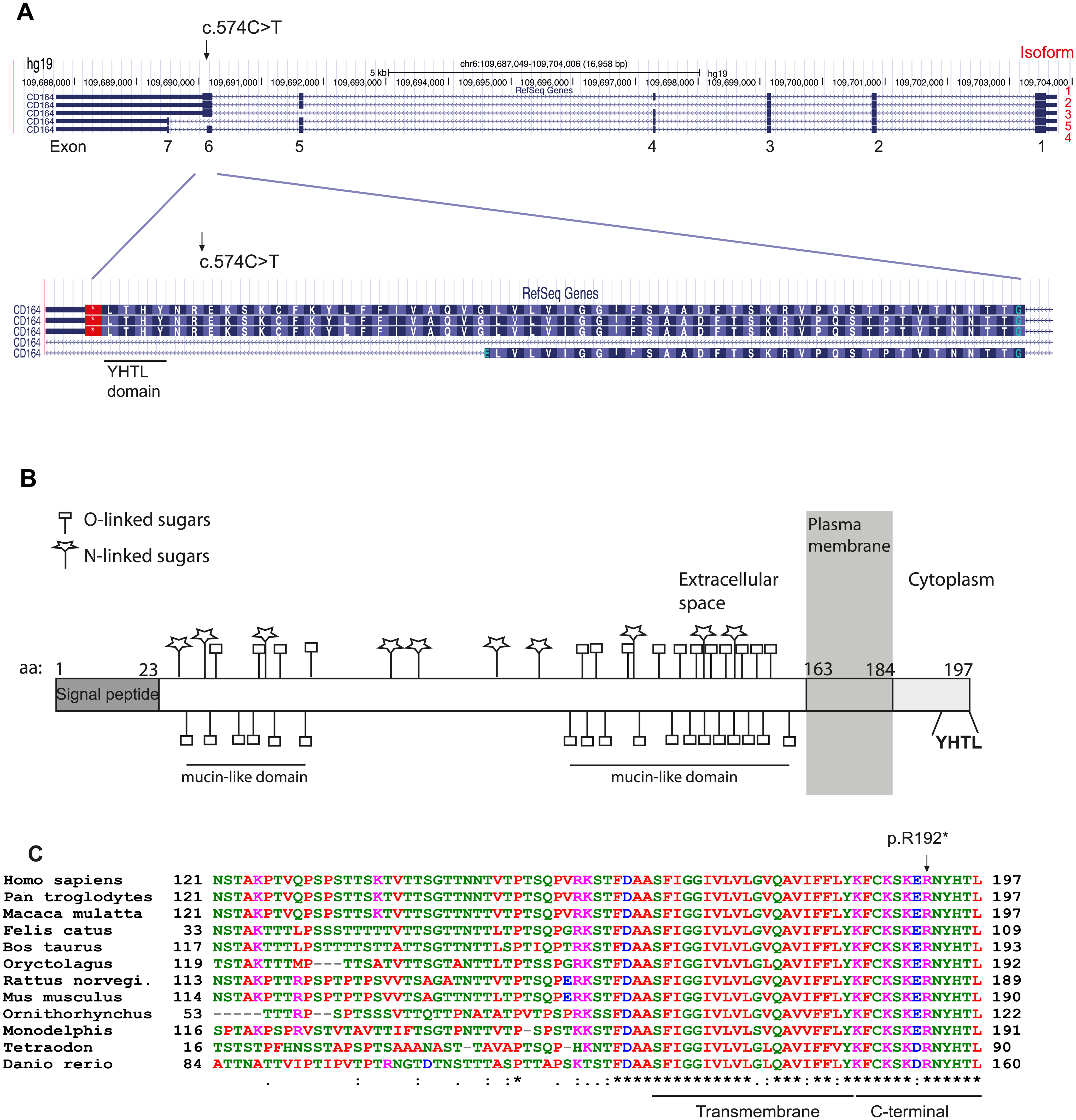 Isoforms of <i>CD164</i> and evolutionary conservation of the C-terminal YHTL sorting motif.