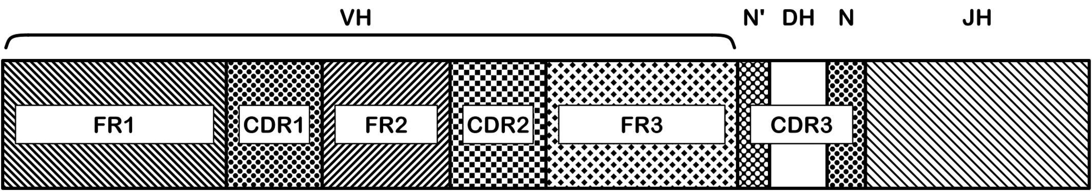 Oblasti genu těžkého řetězce imunoglobulinu. Na nukleotidové sekvenci přeskupených VDJ subgenů je rozeznáváno několik funkčně významných oblastí: FR1-3 a CDR1-3. Aminokyseliny kódované v CDR (complementarity determining regions) oblastech jsou zodpovědné za vazbu protilátky na antigen, sekvence těchto oblastí má tedy největší význam pro specifitu výsledné protilátky. CDR3 oblast je nejvíce variabilní, zahrnuje D subgen a náhodně včleněné nukleotidy (N, N') ve spojích V-D a D-J.