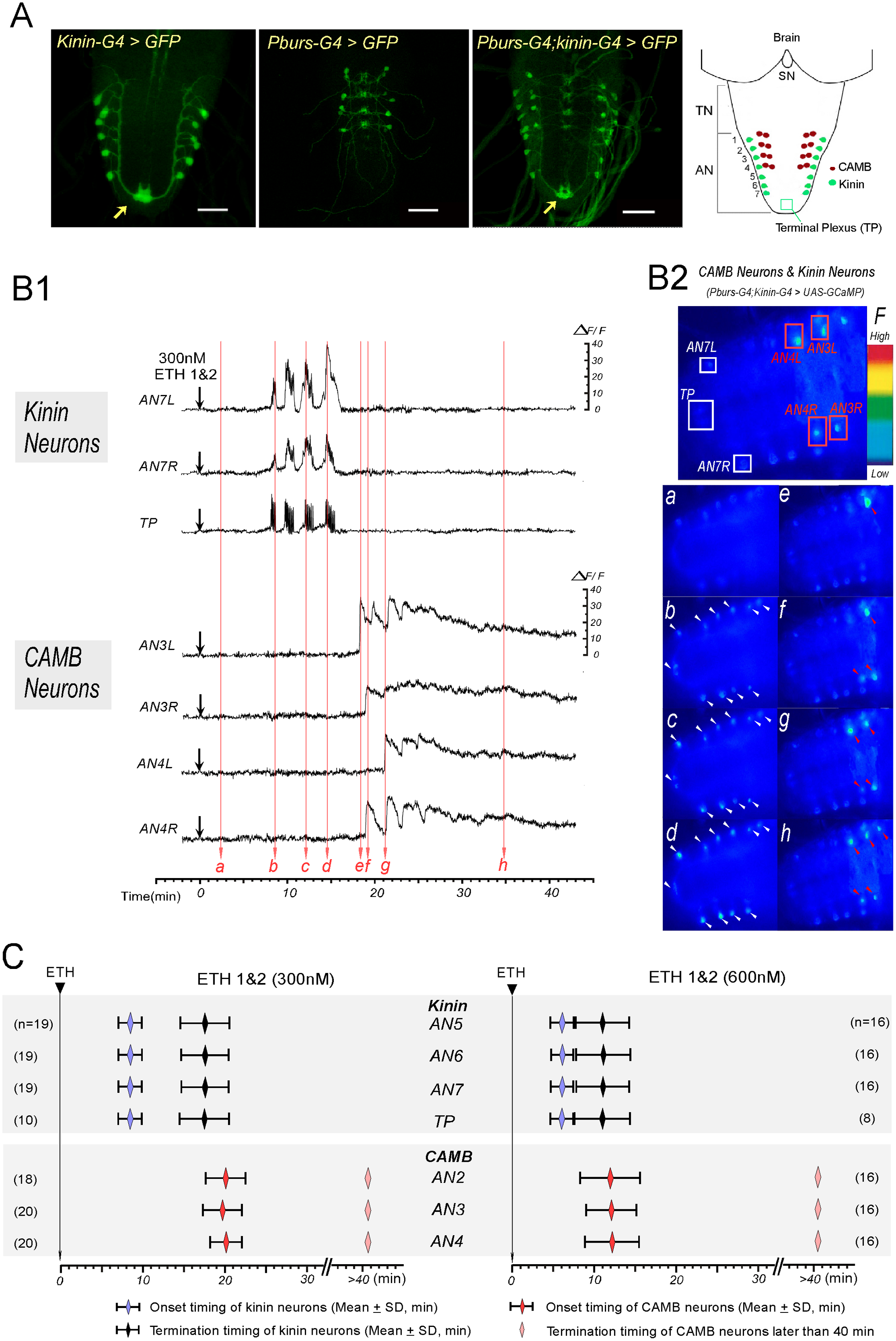 ETH evokes sequential activation of kinin and CAMB neurons.