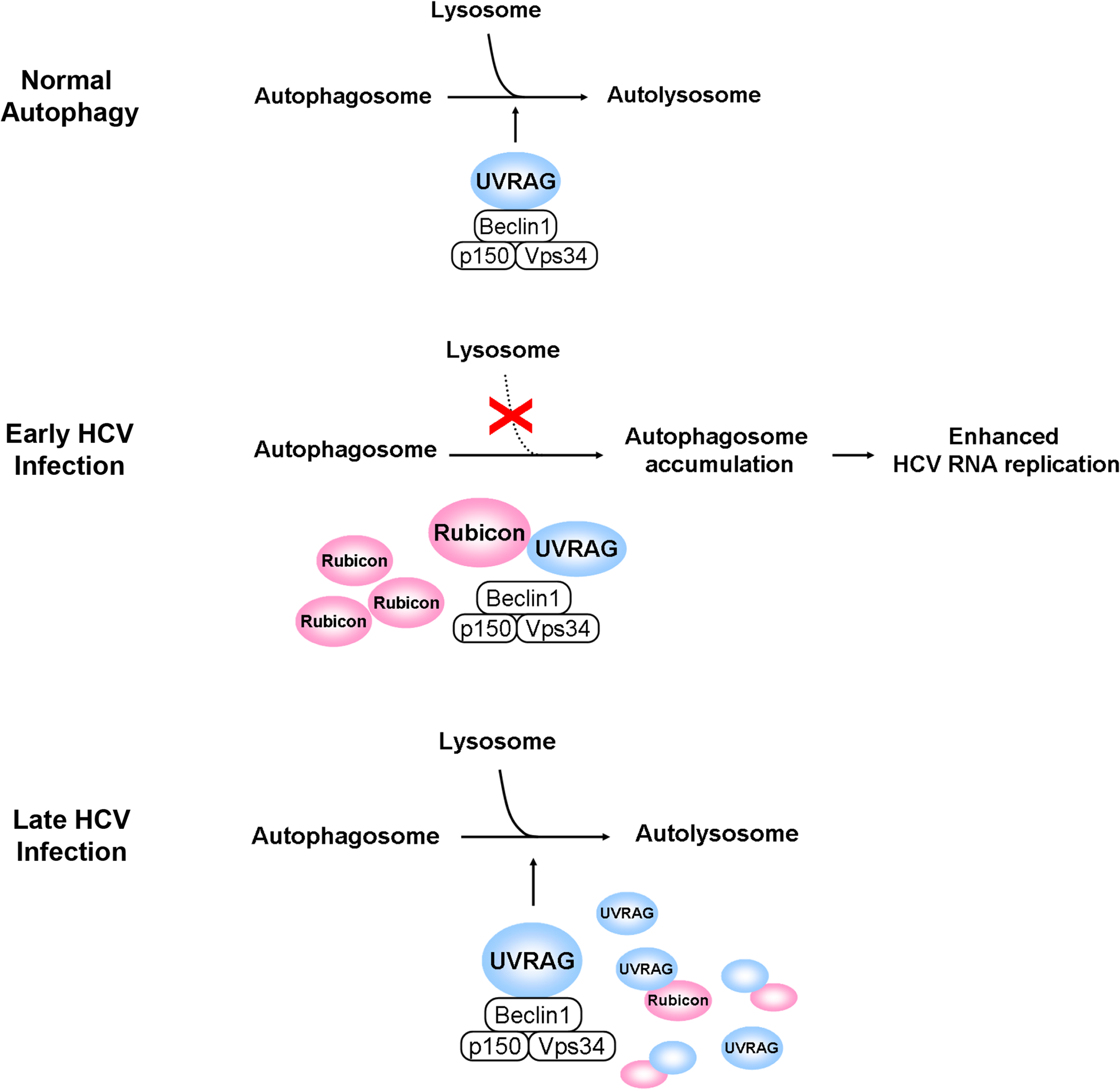 Model for the roles of Rubicon and UVRAG in the maturation of autophagosomes in HCV-infected cells.