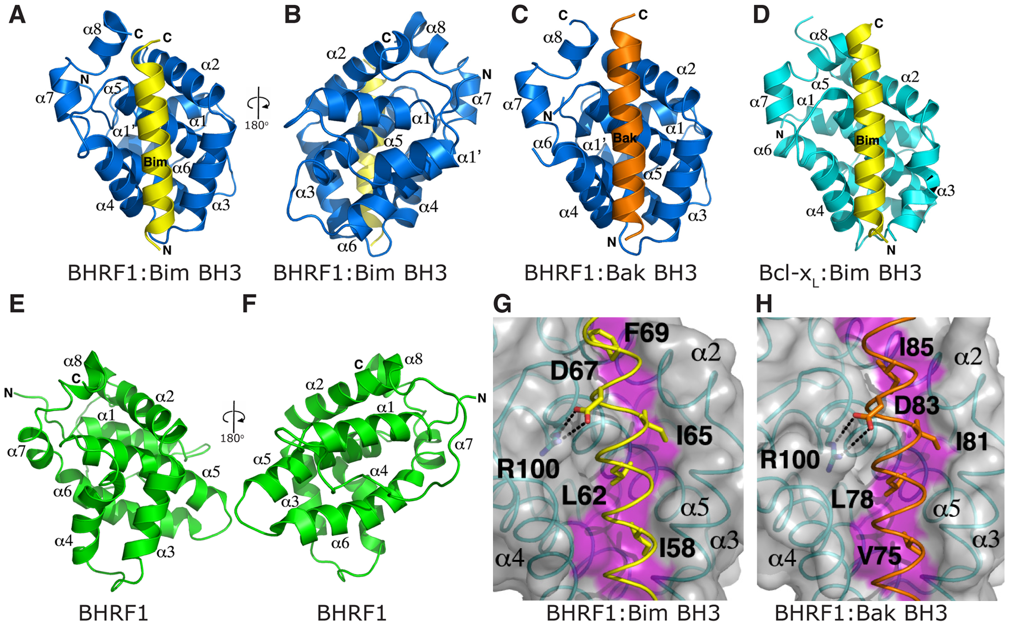 BH3 peptides bind BHRF1 in a canonical binding groove.