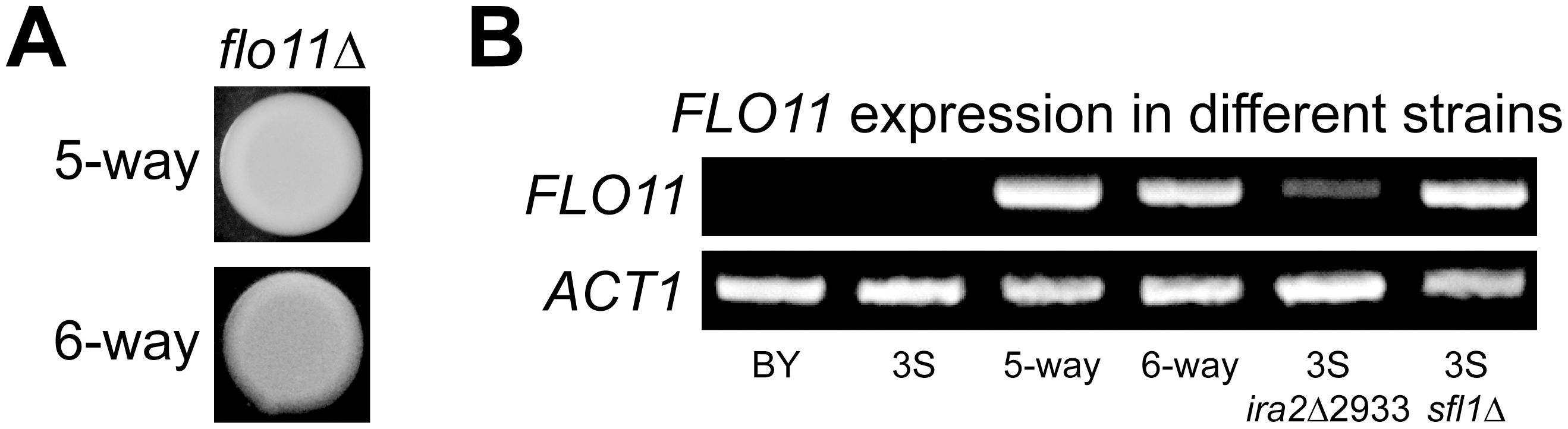 <i>FLO11</i> is required for rough morphology and shows differential expression across genetic backgrounds.