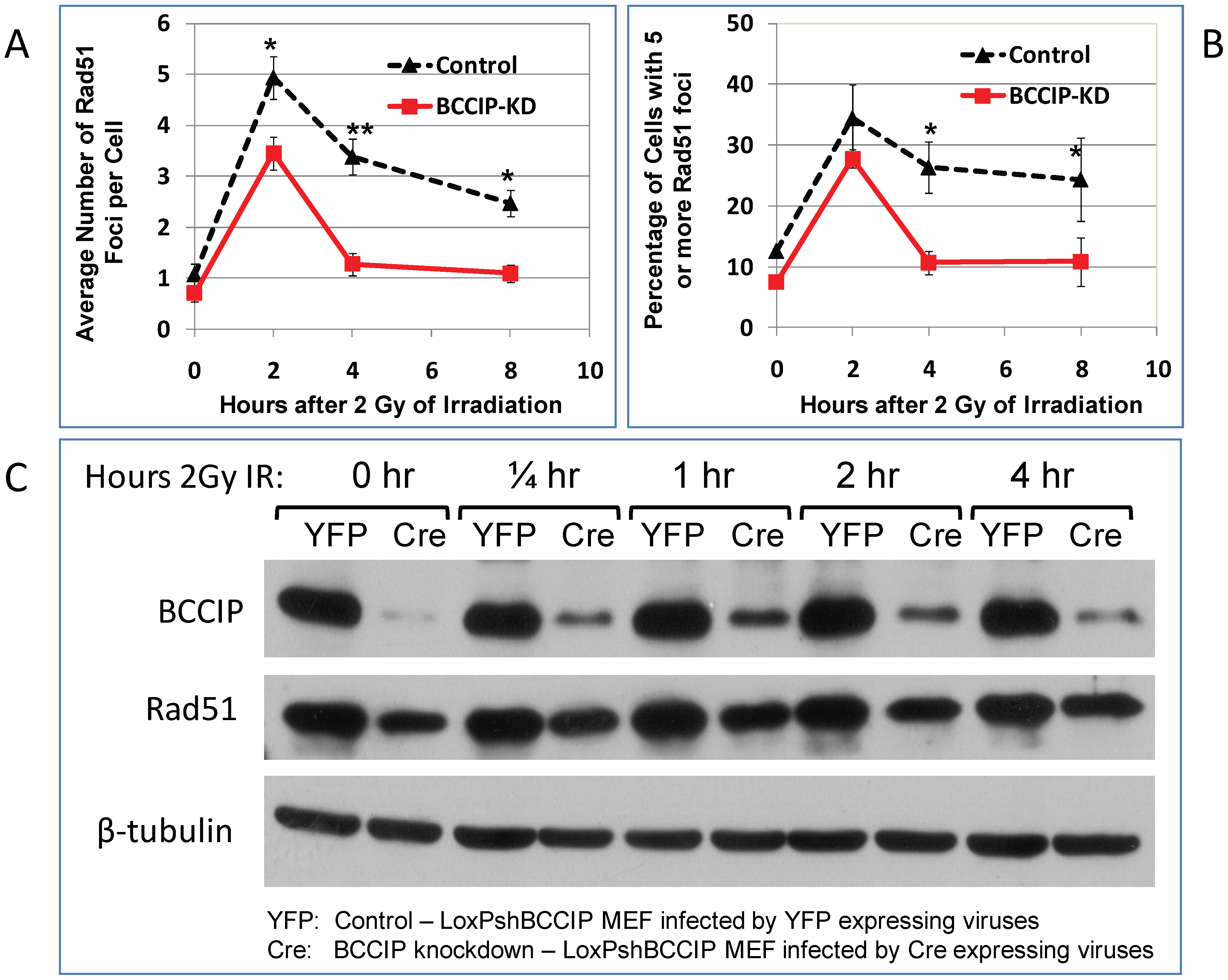 Reduced Rad51 protein level and focus formation in BCCIP-deficient MEFs.