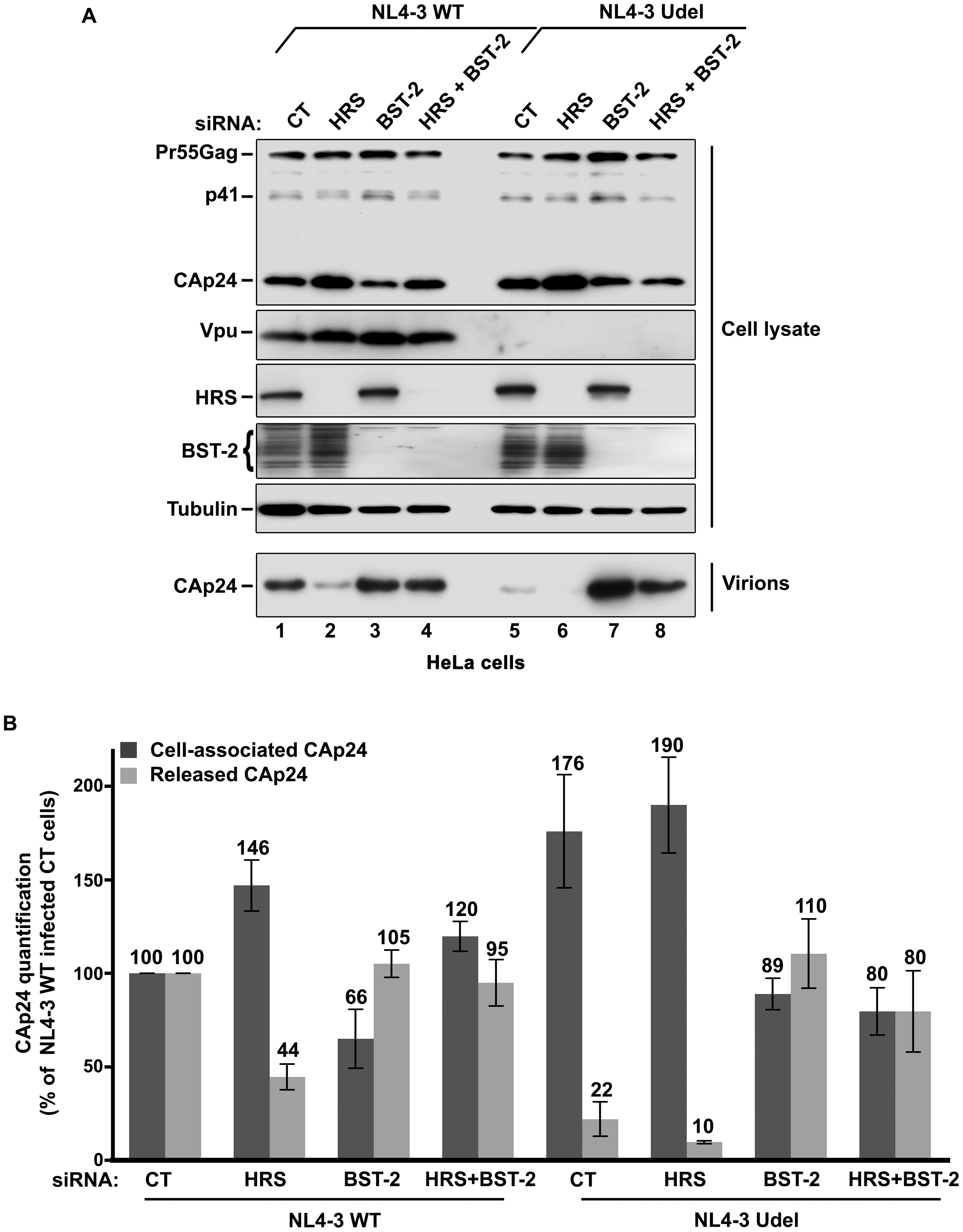 HRS depletion does not alter the release of HIV-1 particles in HeLa cells depleted for BST-2.
