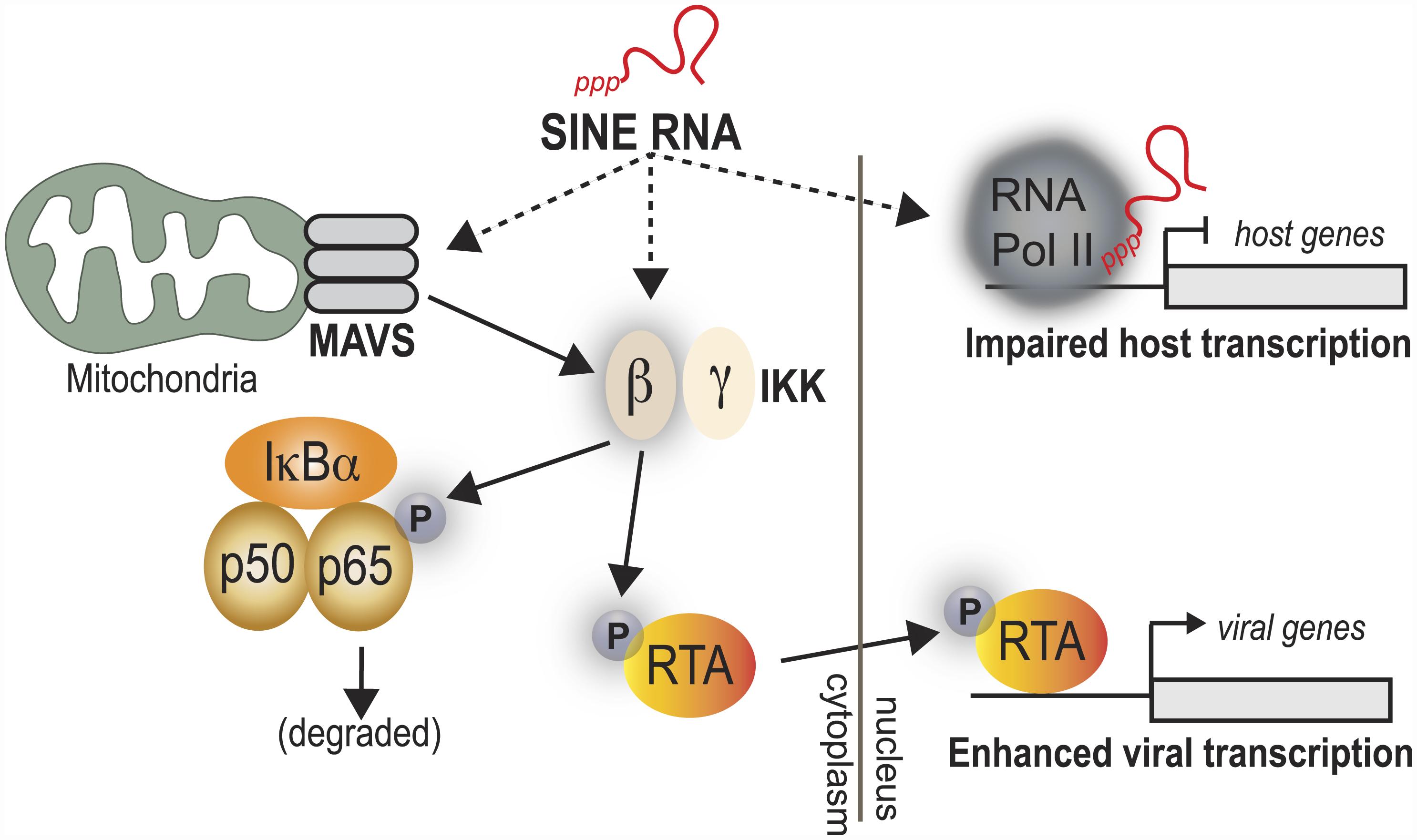 Model for SINE RNA enhancement of viral gene expression.