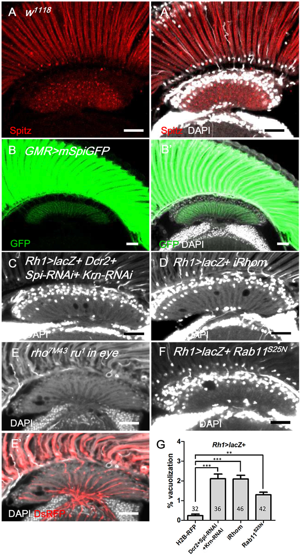 Spitz from photoreceptors is transported to the lamina and is required for lamina glia maintenance.